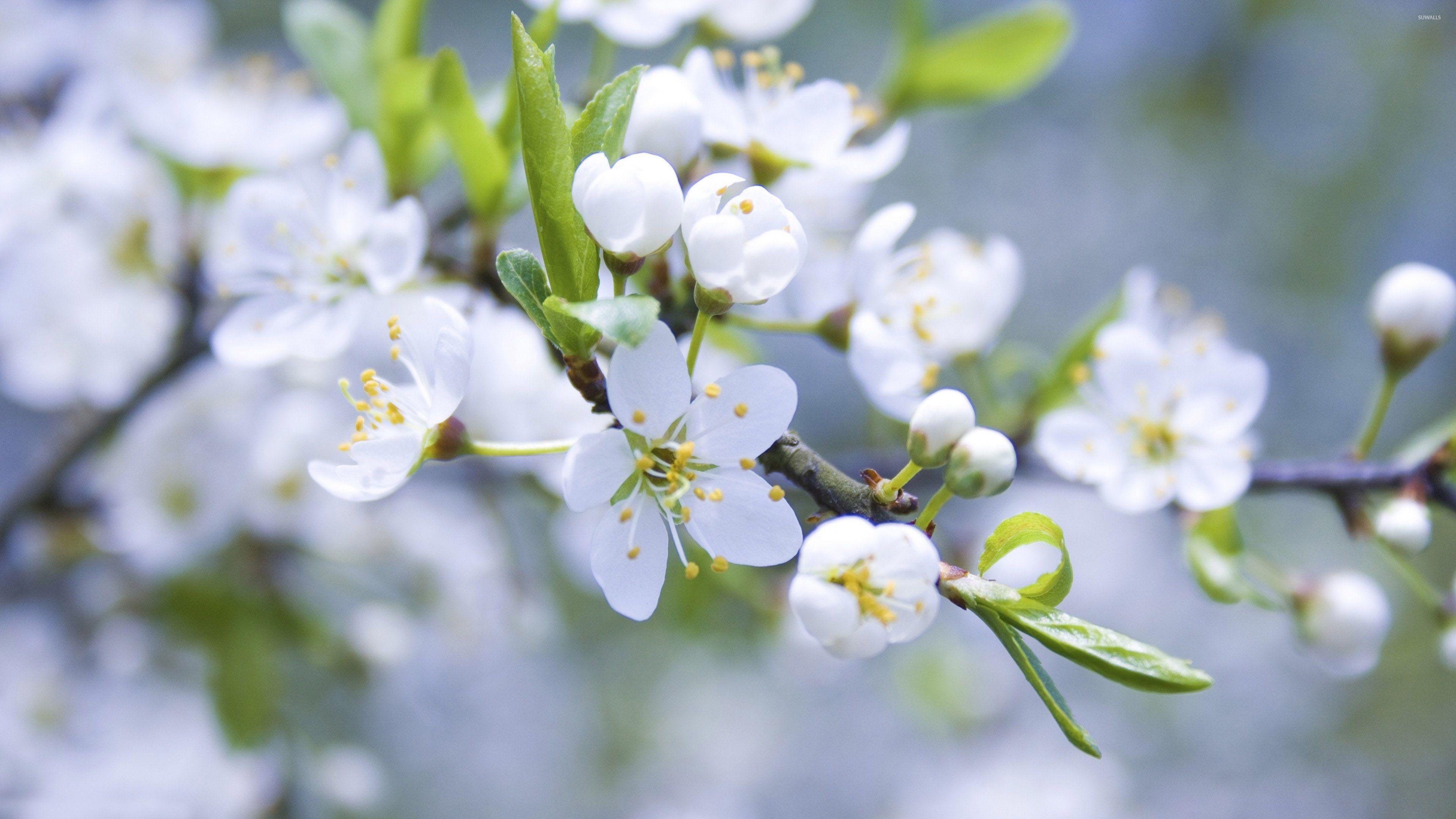White blossoms photo