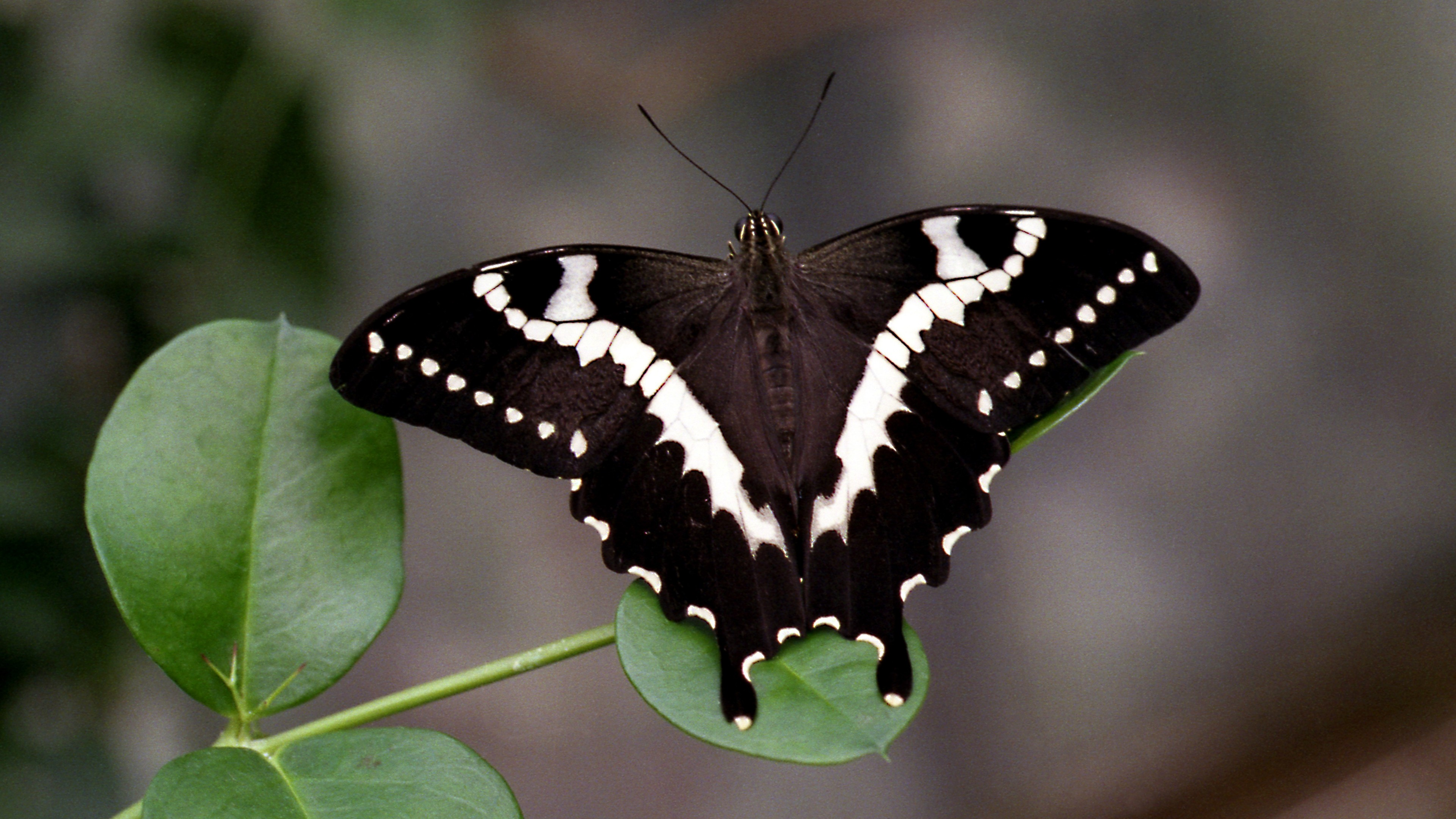 White butterfly photo