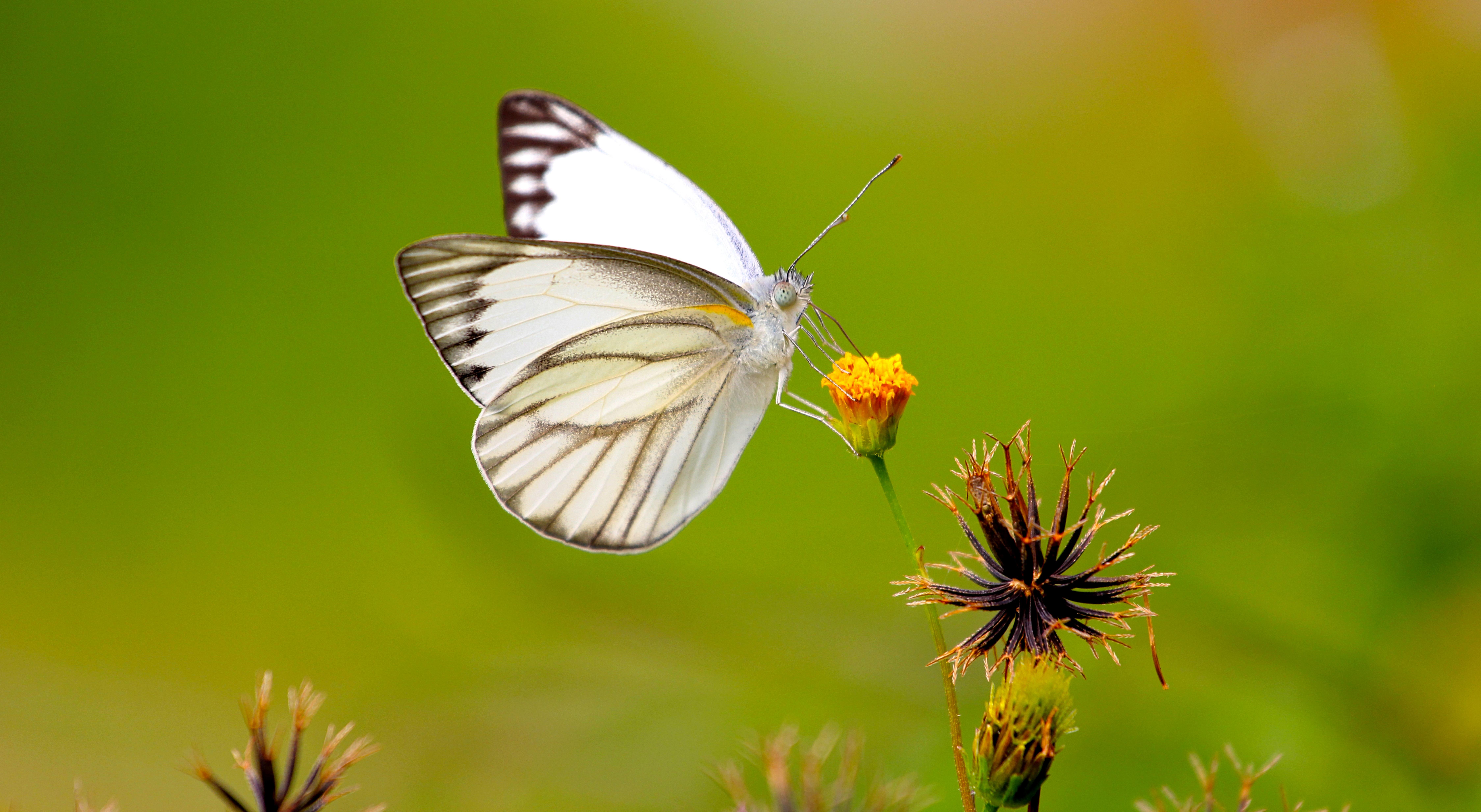 White Butterfly Wallpaper 4K 8K | HD Wallpaper Background