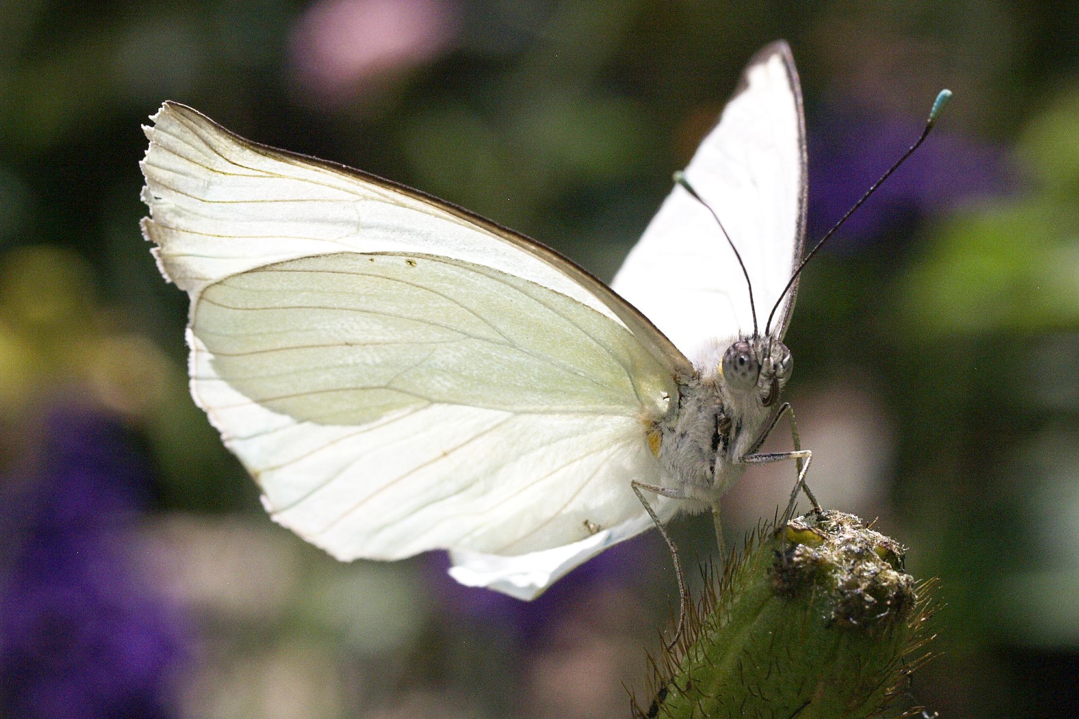 White Butterfly wallpaper | animals | Wallpaper Better