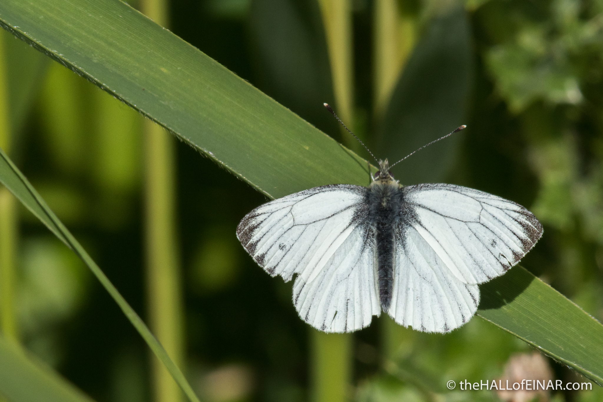 Green Veined White butterfly – the HALL of EINAR