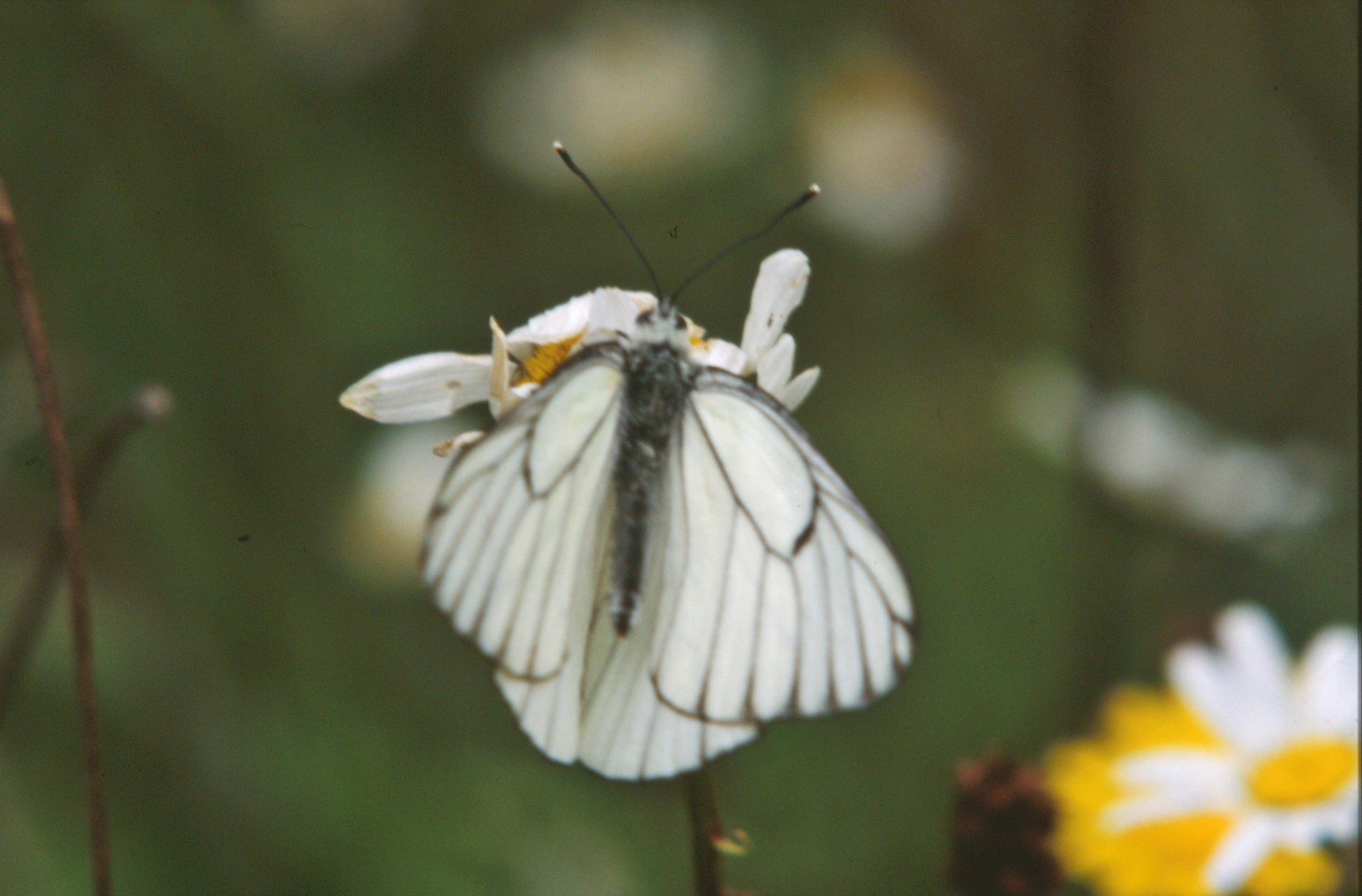 White butterfly, Beautiful, Bright, Bug, Butterflies, HQ Photo