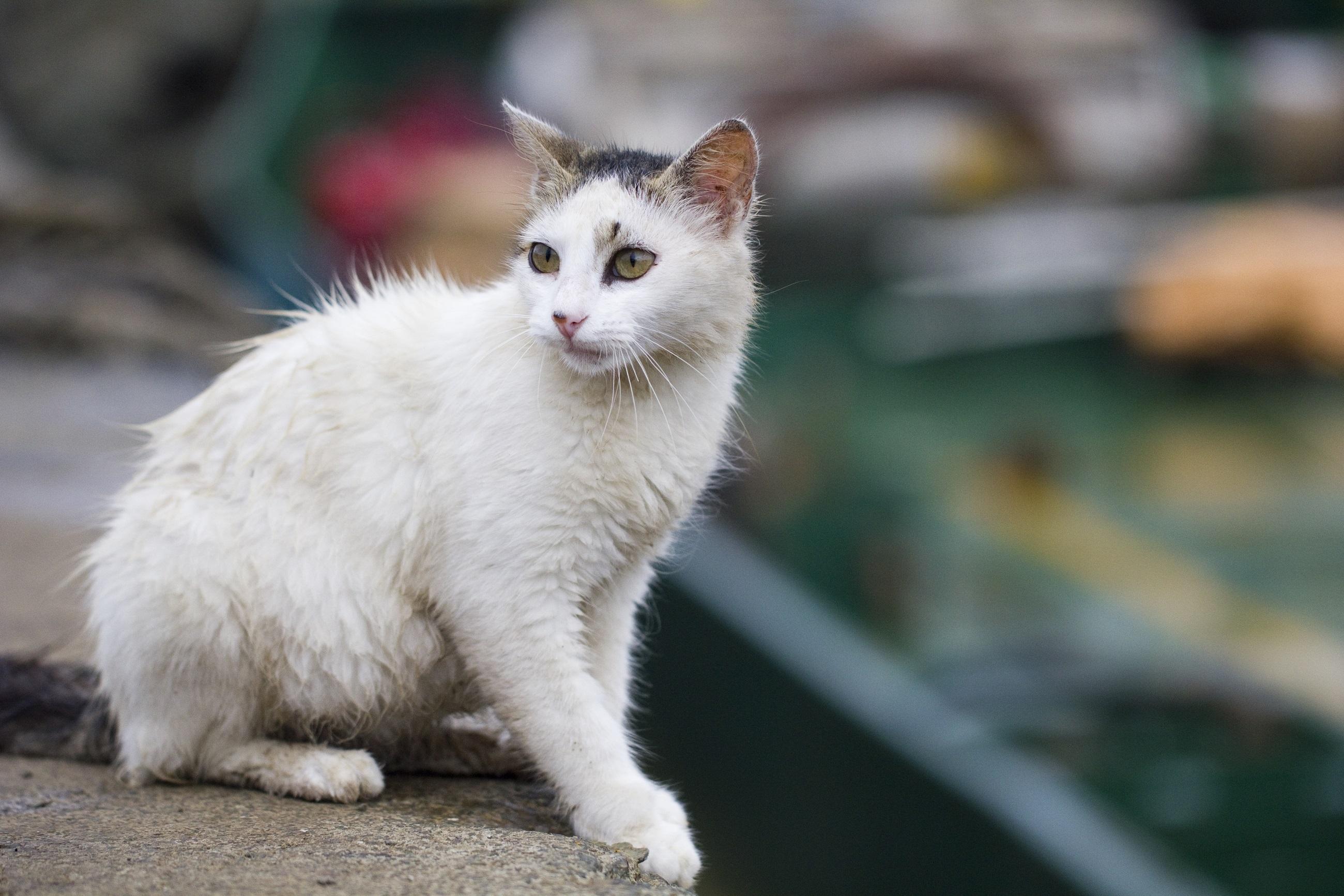 White Cat, Animal, Cat, Friend, Loyal, HQ Photo