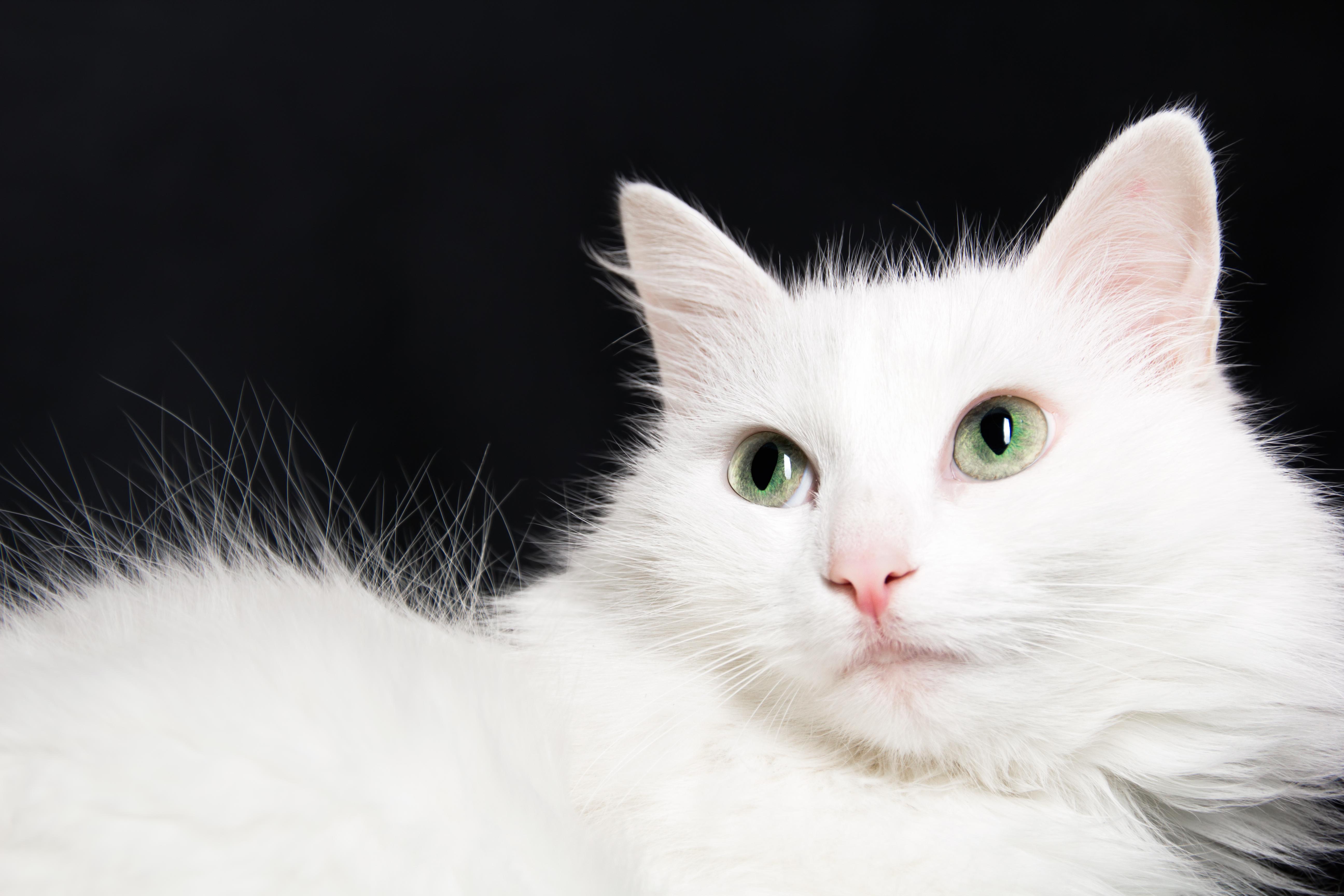 White cat, Cat, Close-up, Domestic, Fluffy, HQ Photo