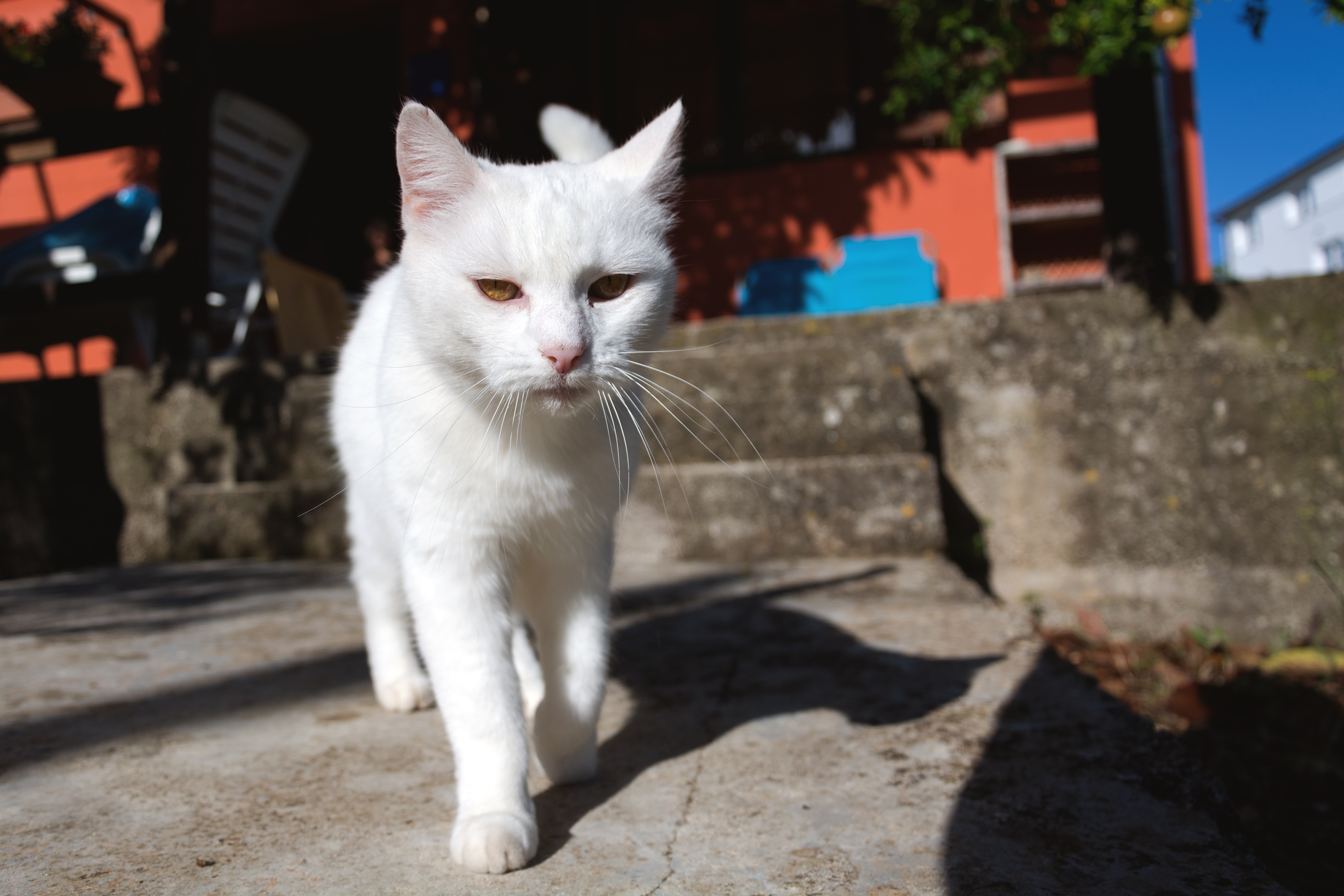 Free Image: White Cat | Libreshot Public Domain Photos