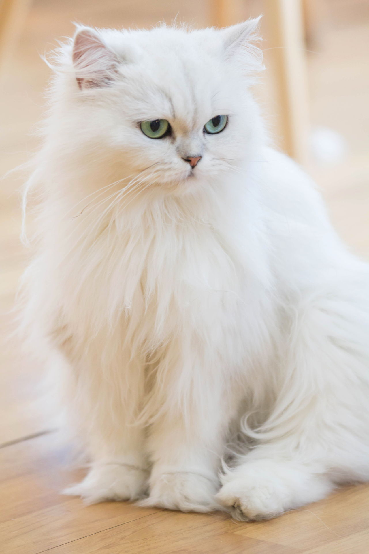 These Facts About White Cat Breeds are Quite Fur-tastic