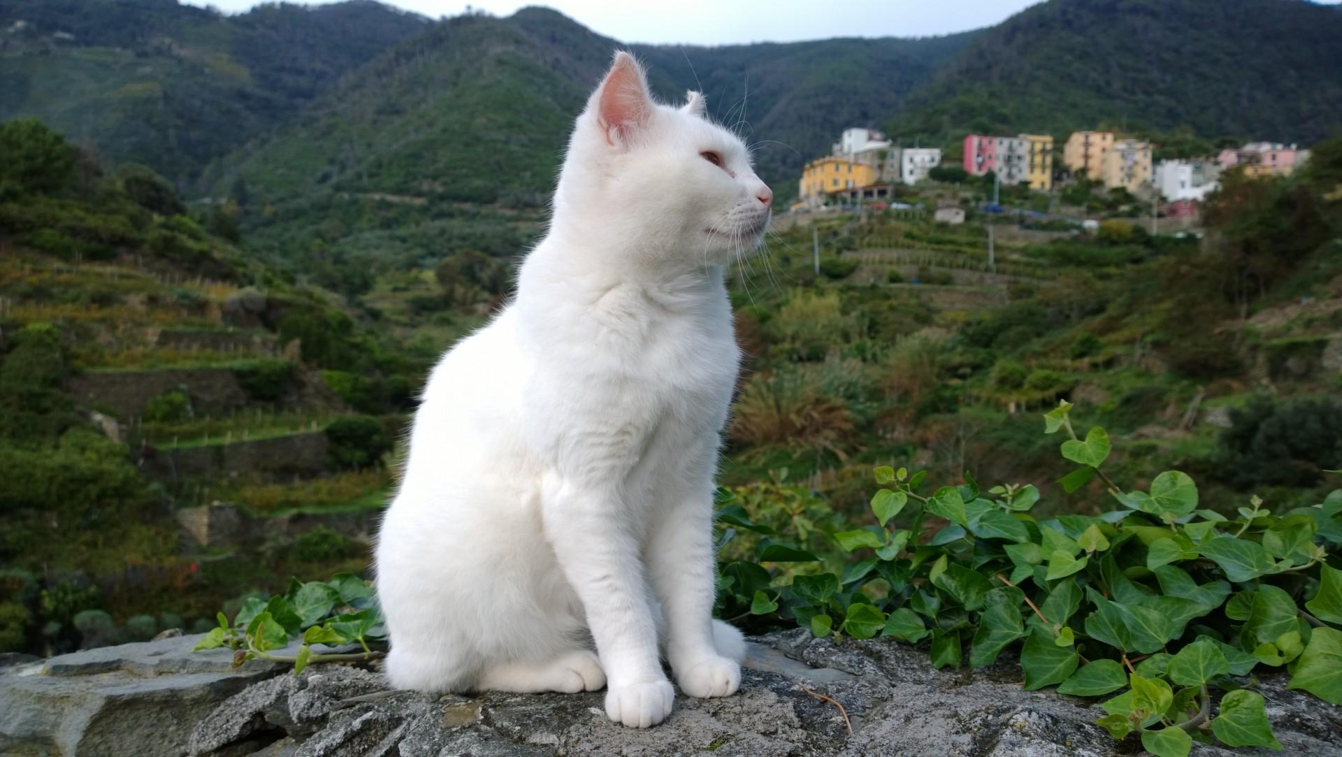 Italian White Cat Free Stock Photo - Public Domain Pictures