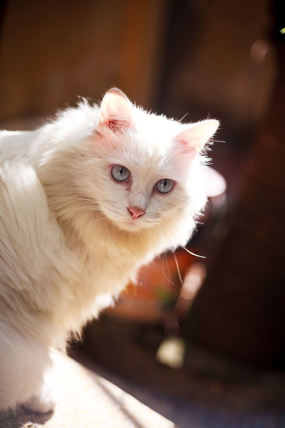 Congenital sensorineural deafness in cats - Wikipedia