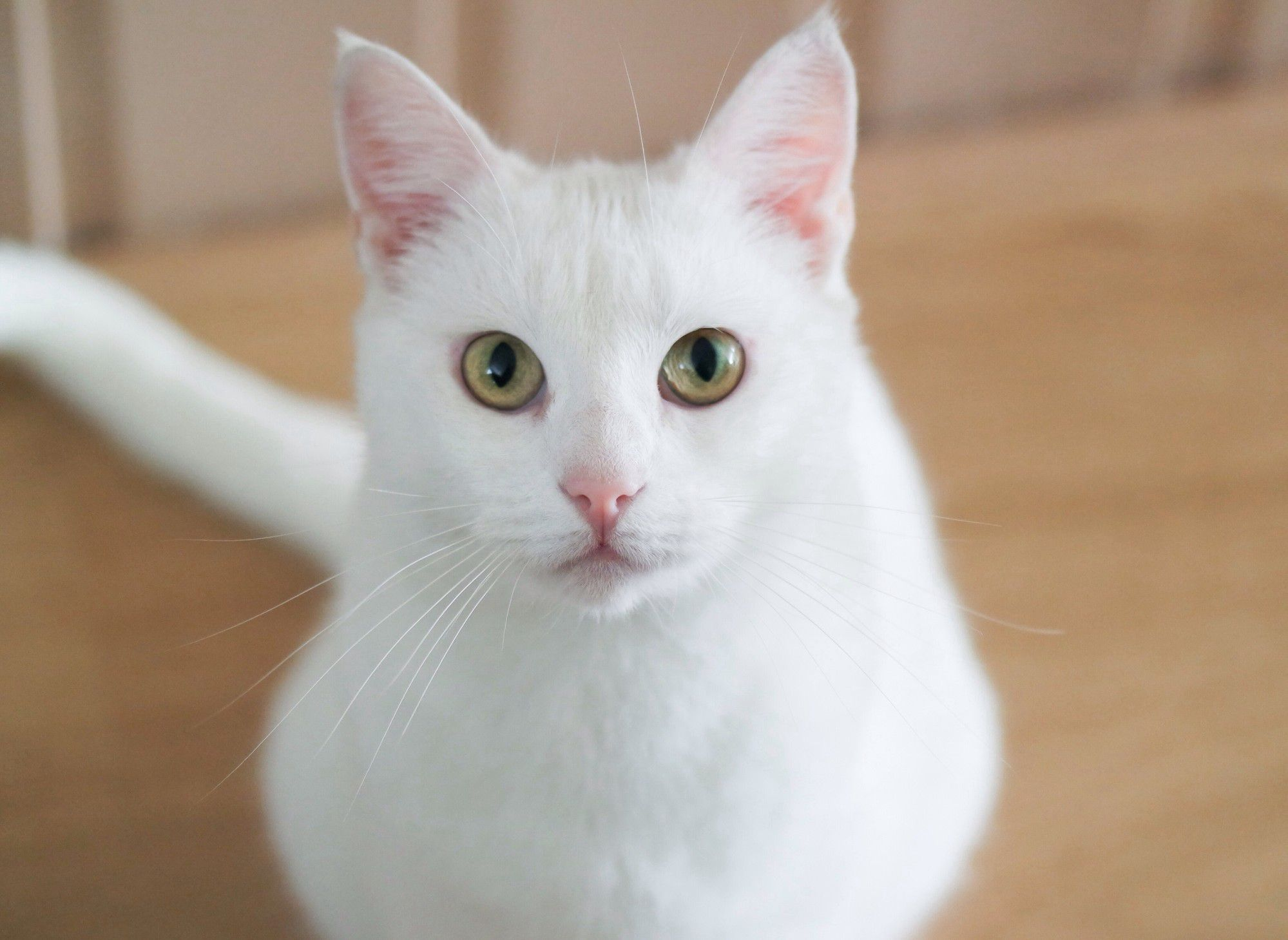 White Cat Breeds Profile - White Cats