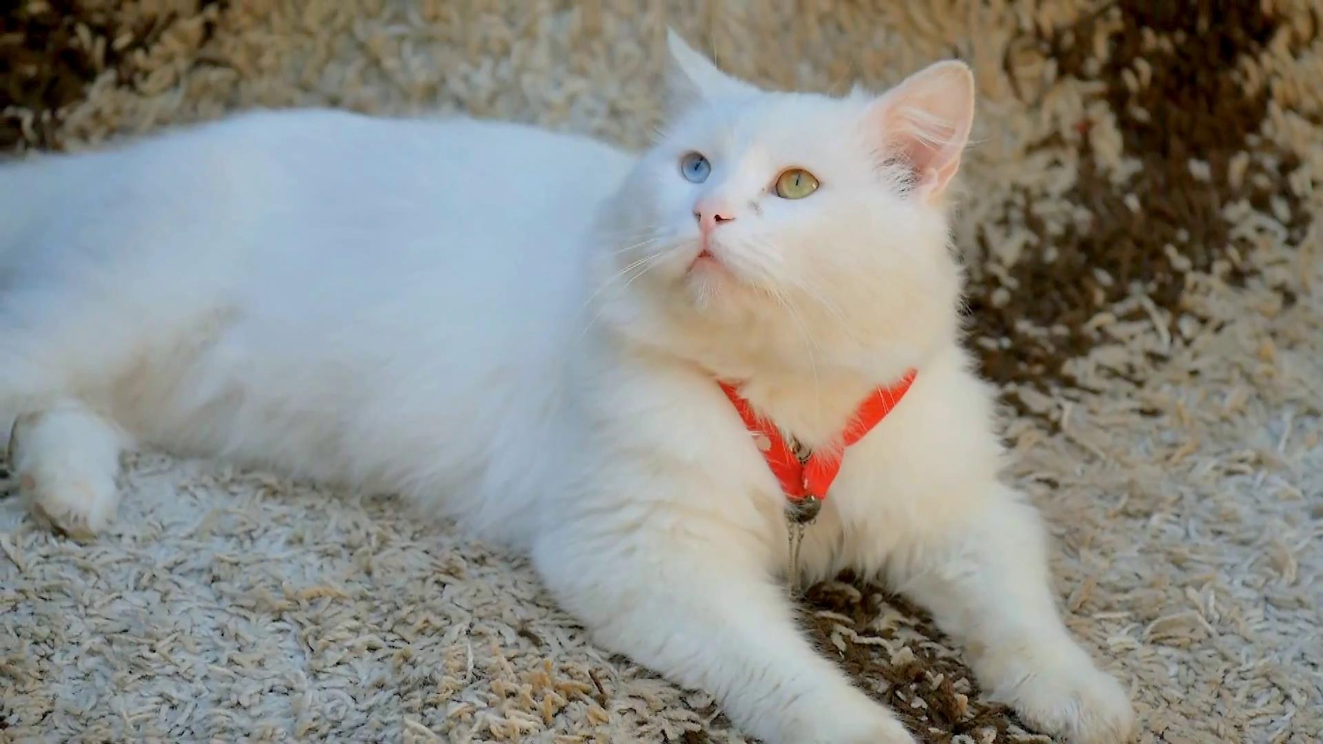 Free Photo White Cat Pet Pussy Head Free Download Jooinn