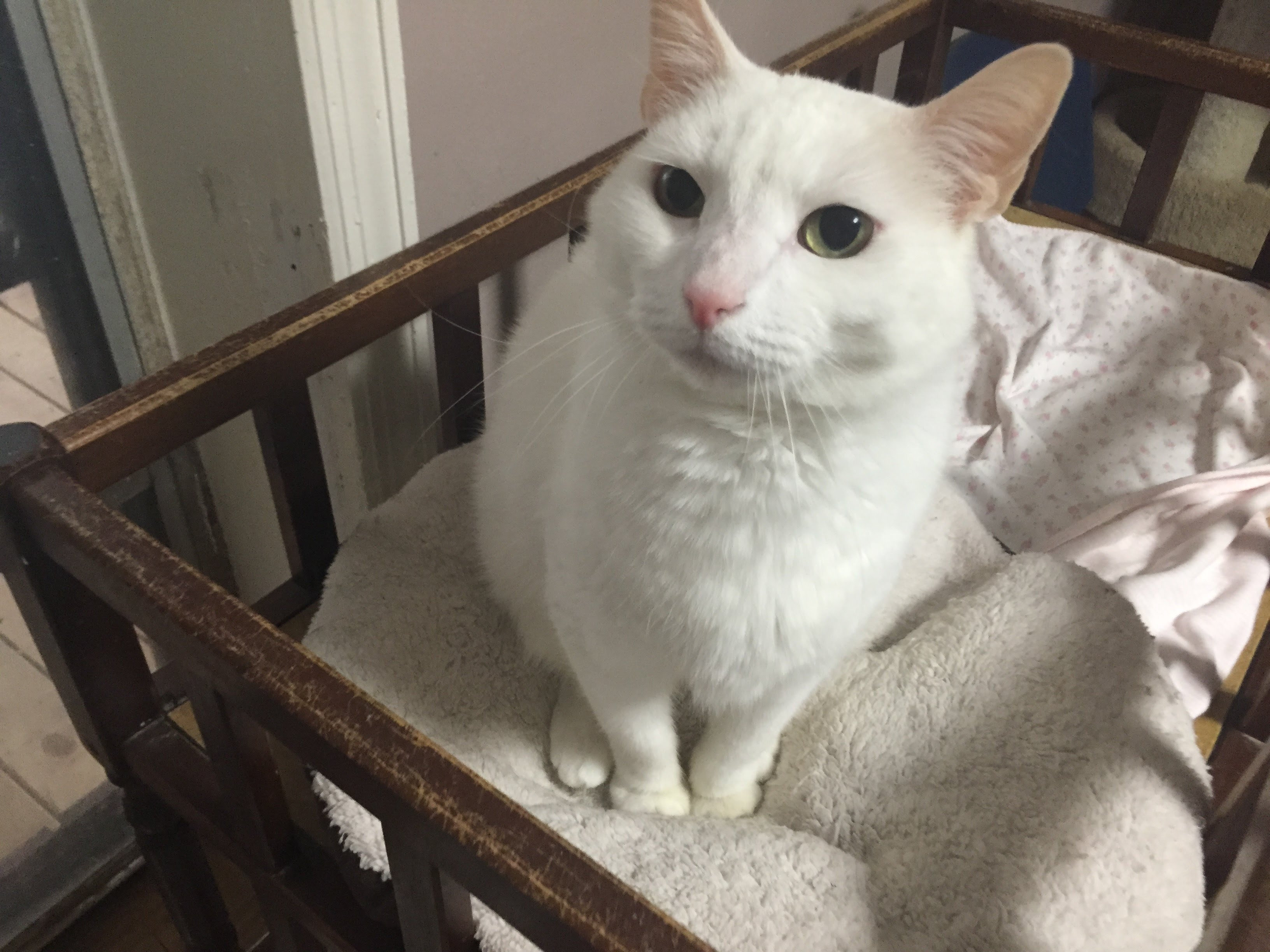 Chatty and Very Friendly White Cat - Pet of the Week - YouTube