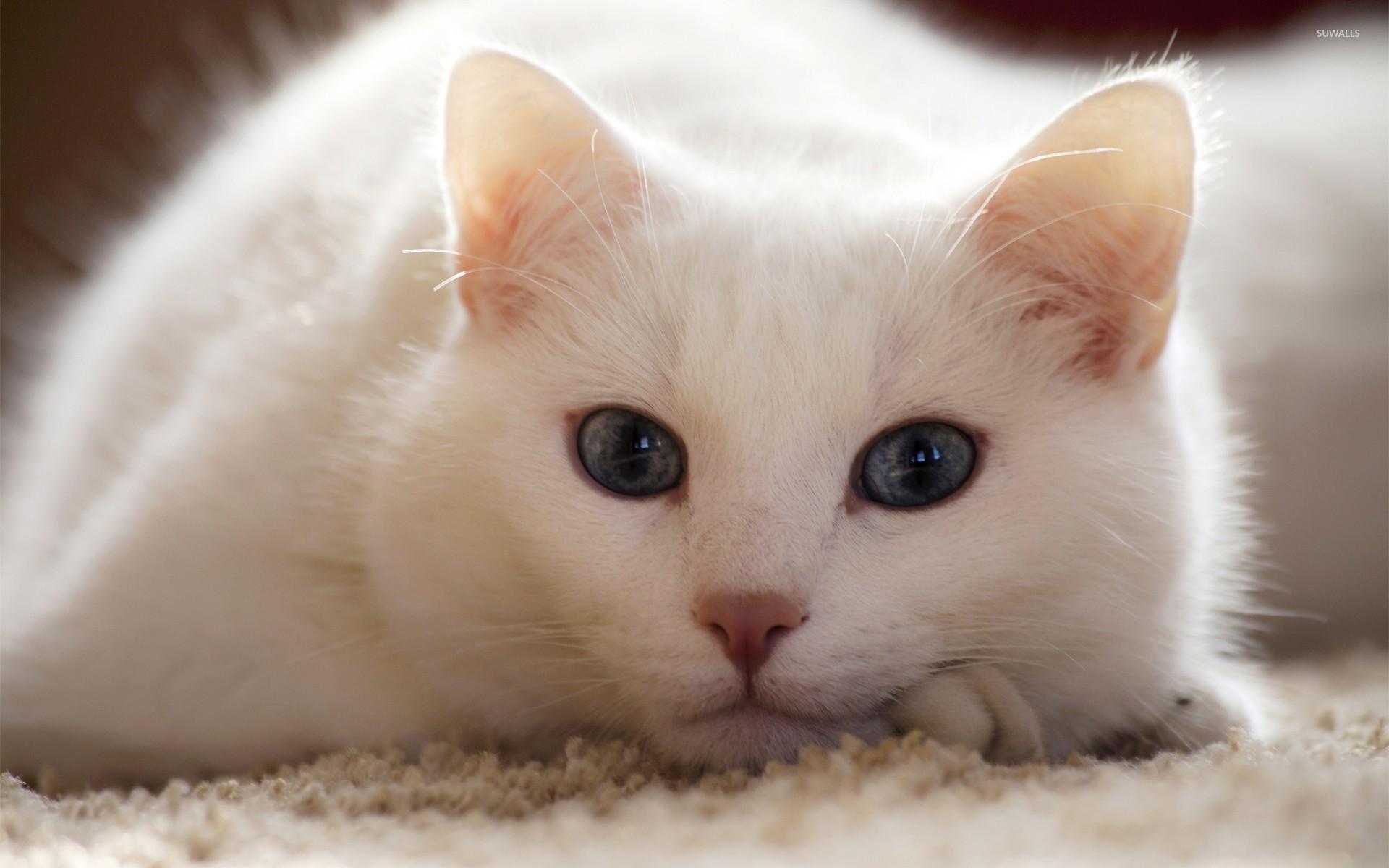 Animals & Birds White Cat wallpapers (Desktop, Phone, Tablet ...