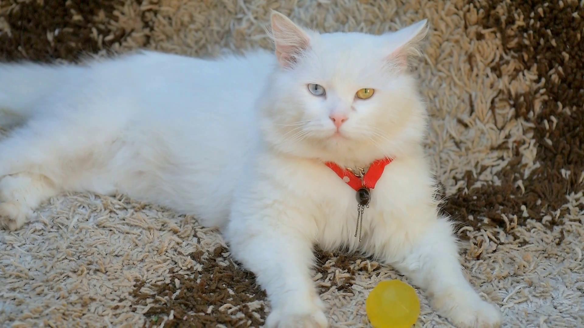 white cat with eyes heterochromia Stock Video Footage - Videoblocks