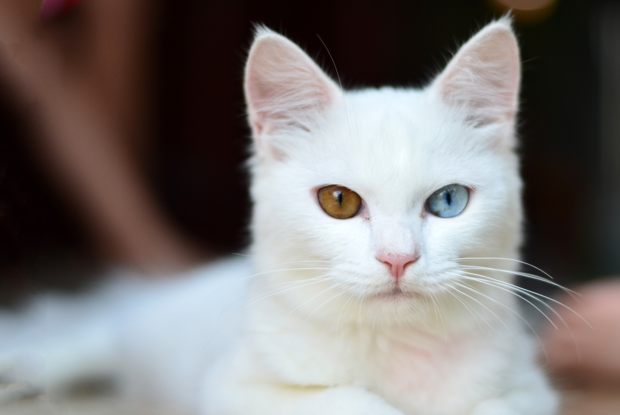 Free Photo of White Cat, different colored Eyes