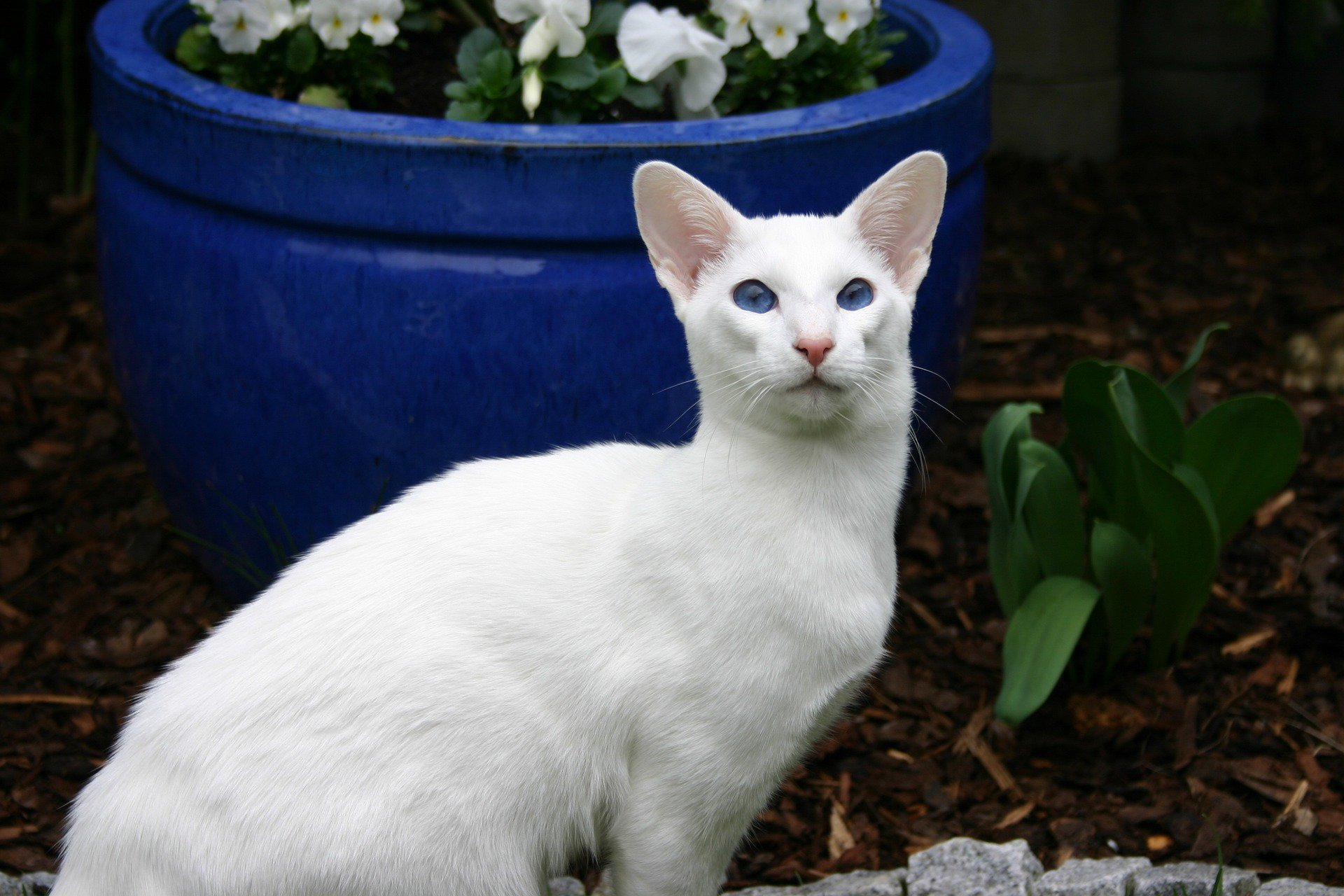 Did You Know That White Cats with Blue Eyes Are Deaf – Juan Pascual