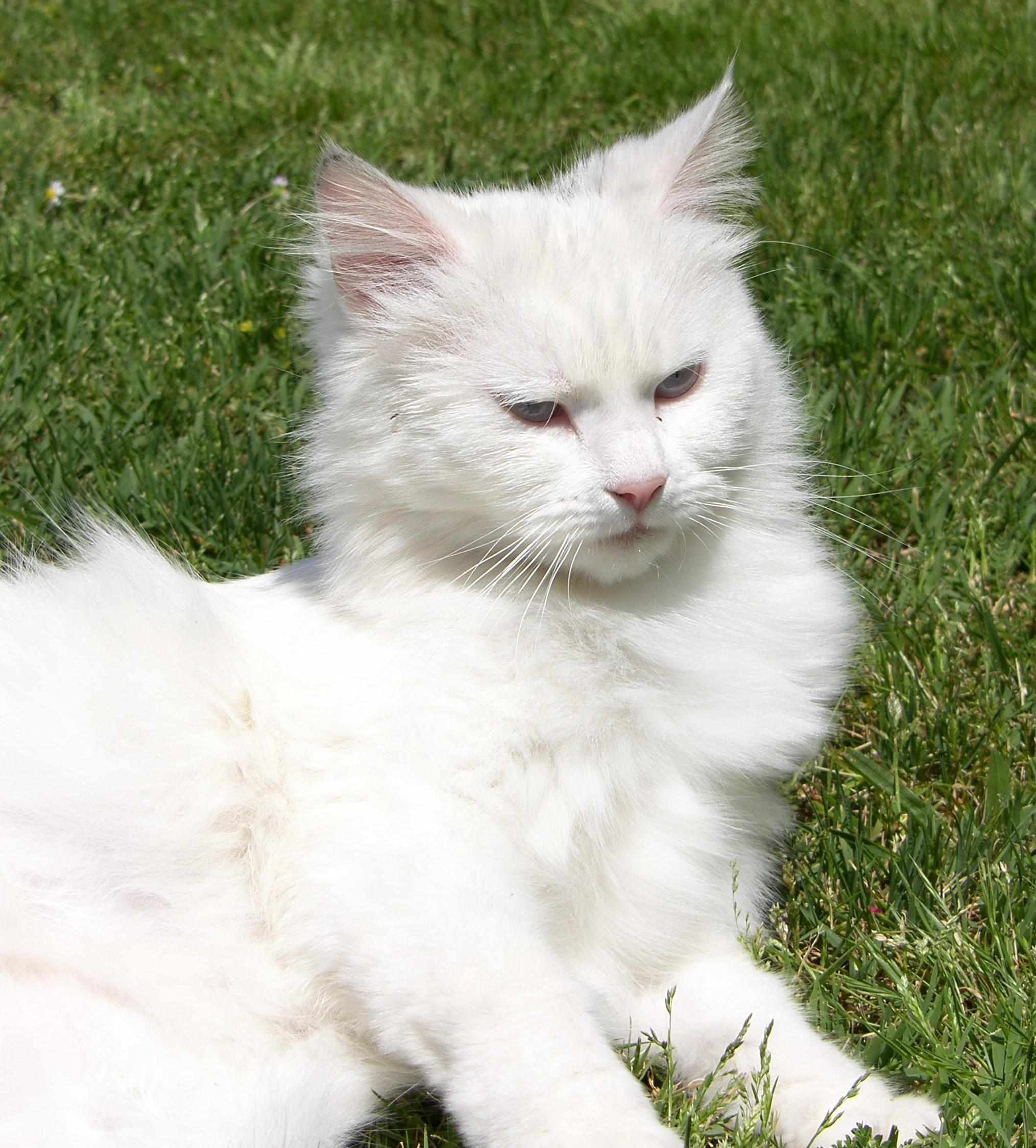 Free picture: white cat, cute, fur, grass, persian cat, animal, pet ...