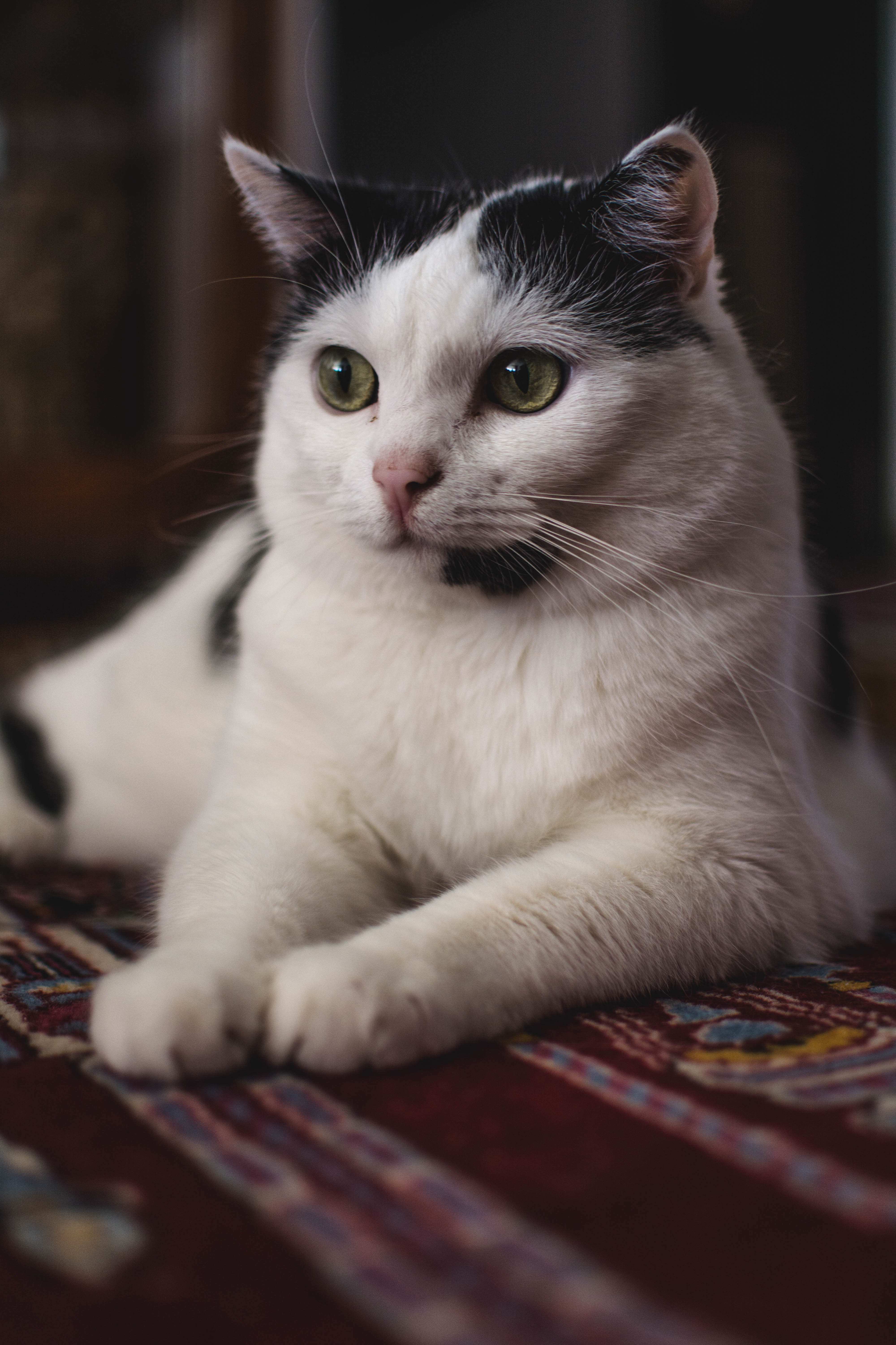 Selective Focus Photography Of Black And White Cat · Free Stock Photo