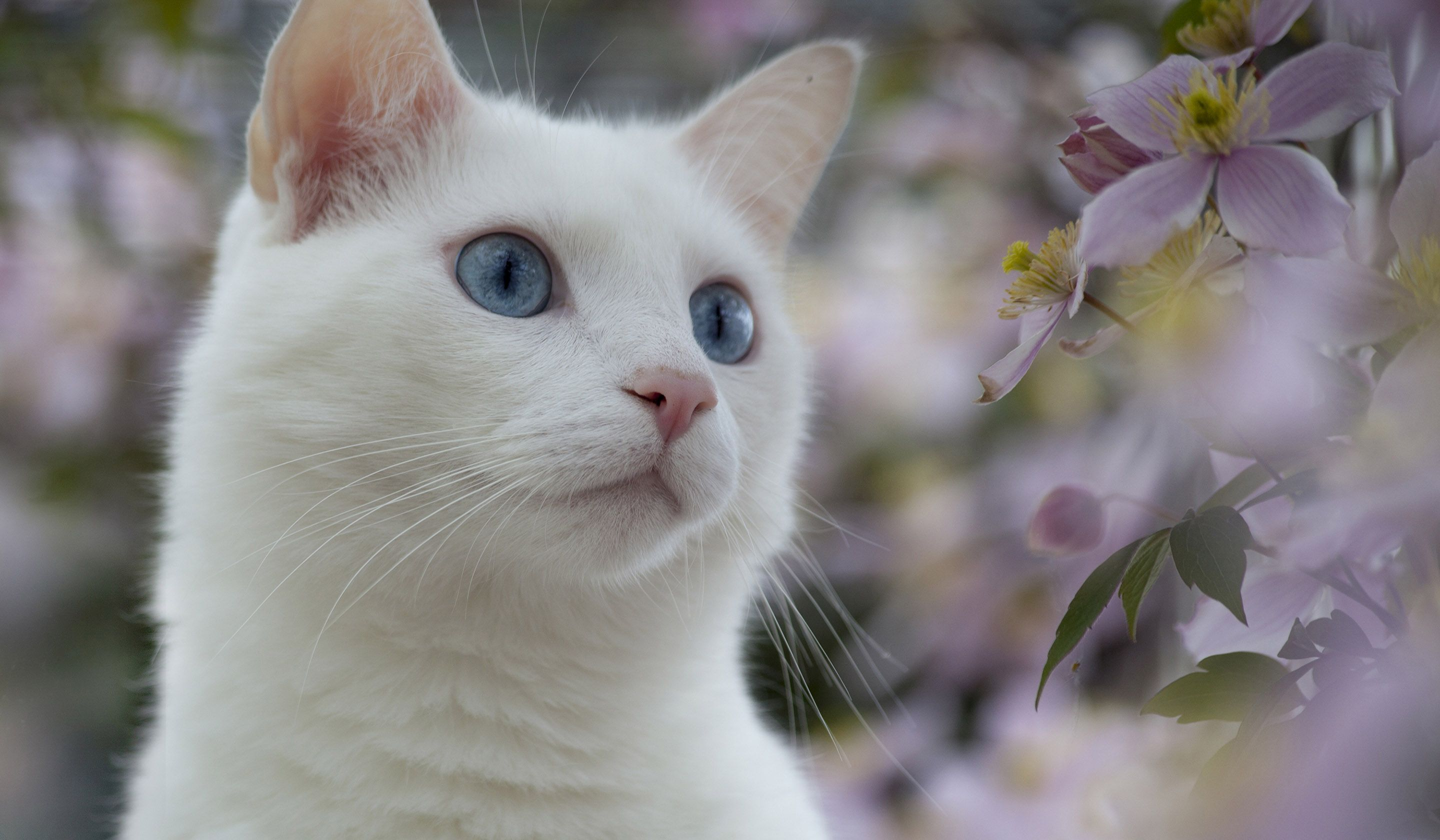 White Cat With Blue Eyes Wallpaper - Cats Wallpapers and Backgrounds