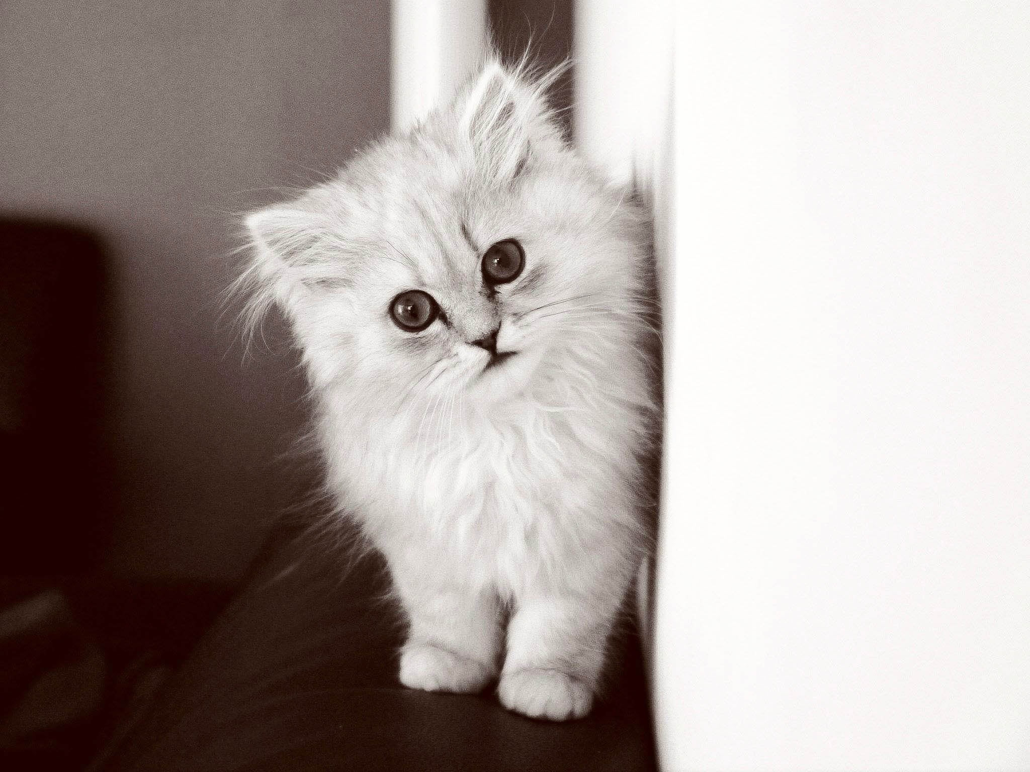 White cat, Kitten, Fluffy cat, Bw HD wallpaper   Wallpaper Flare