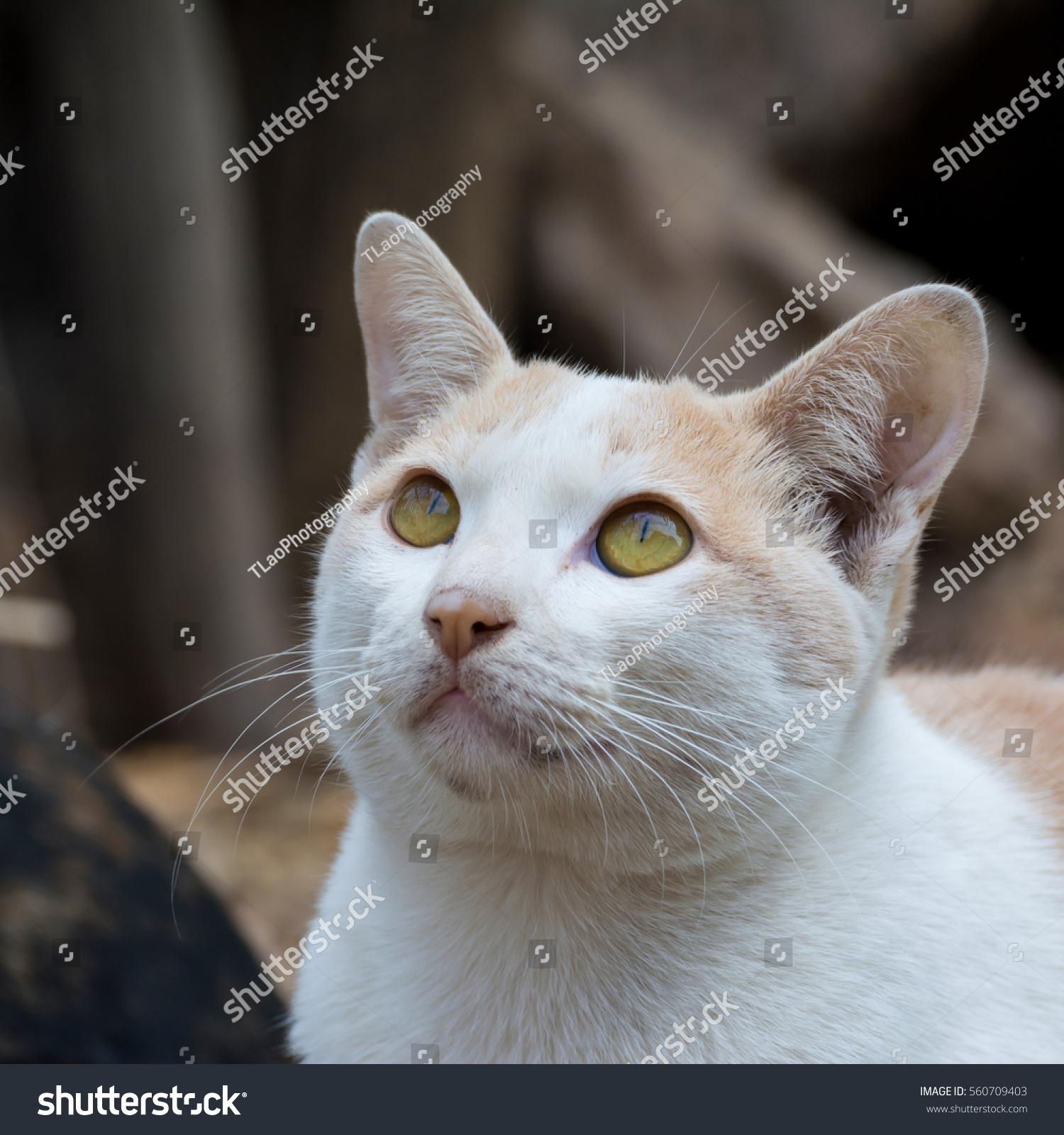White Cat Looking Something Stock Photo 560709403 - Shutterstock