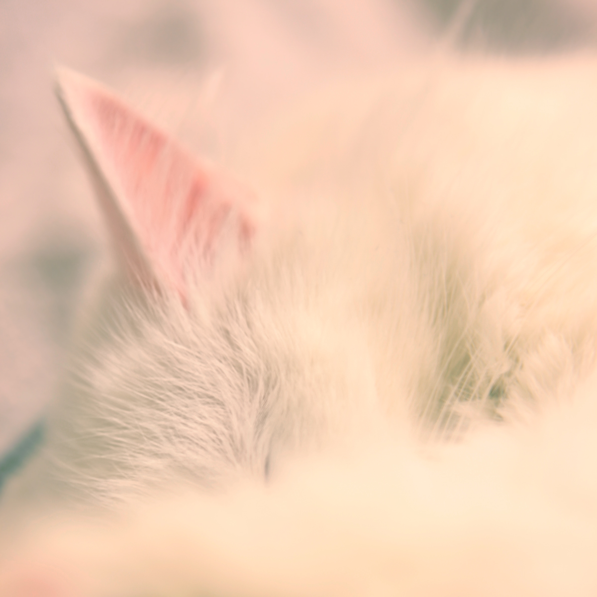 White cat sleeping photo