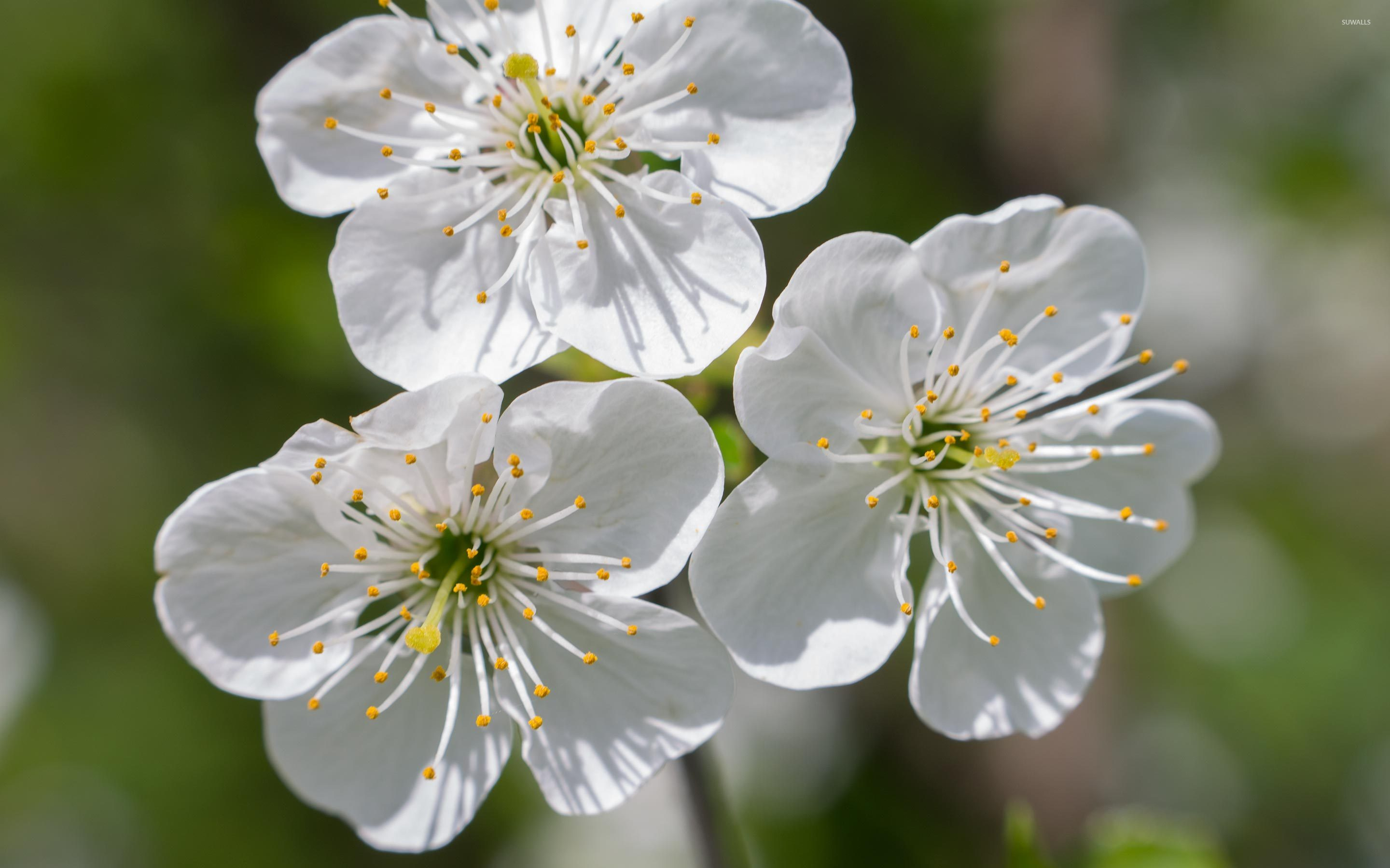 Free photo white cherry blossom flowers nature pollen free white cherry blossom mightylinksfo
