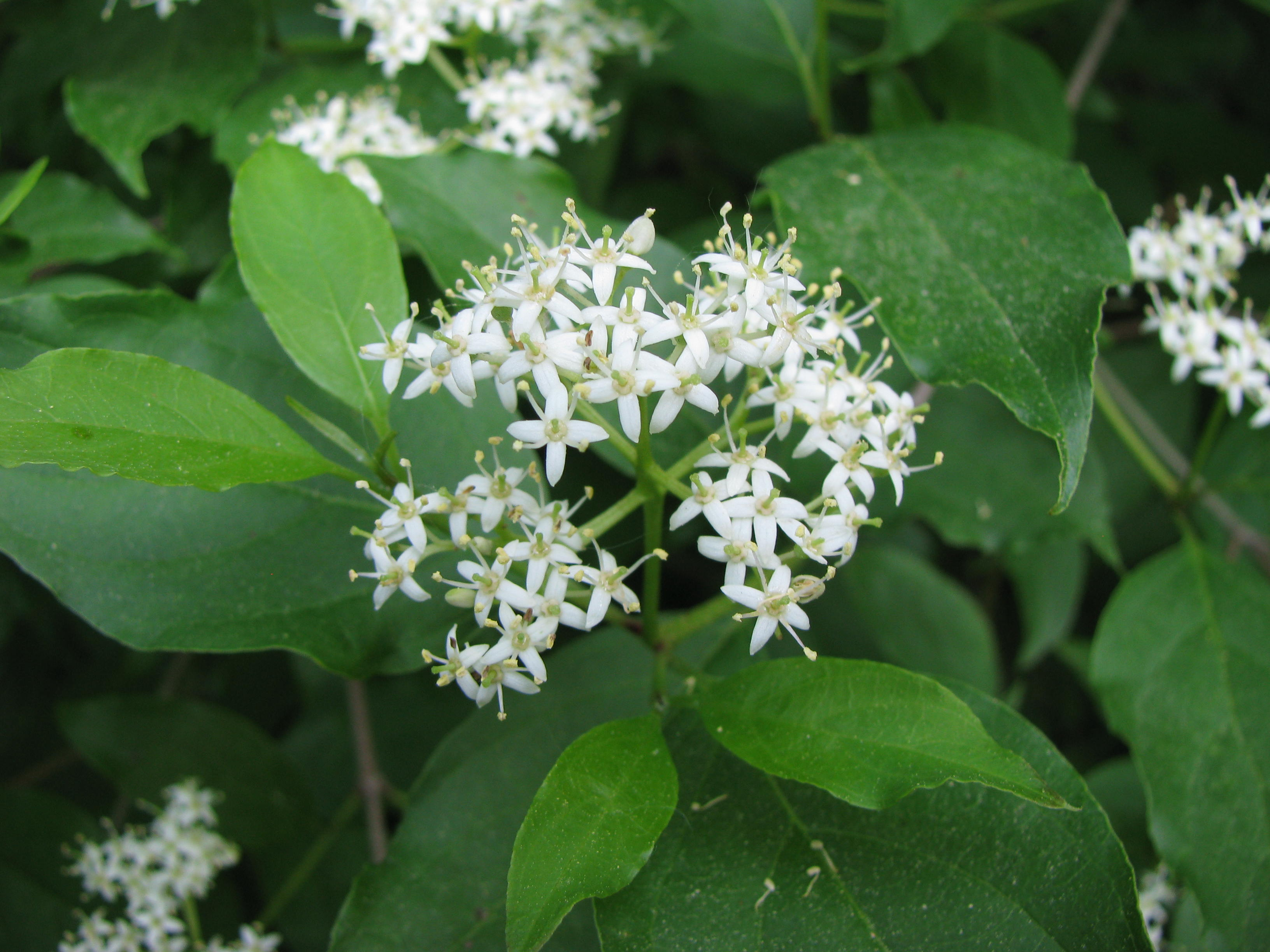 Free Photo White Clustered Flower Nature Plant White Free