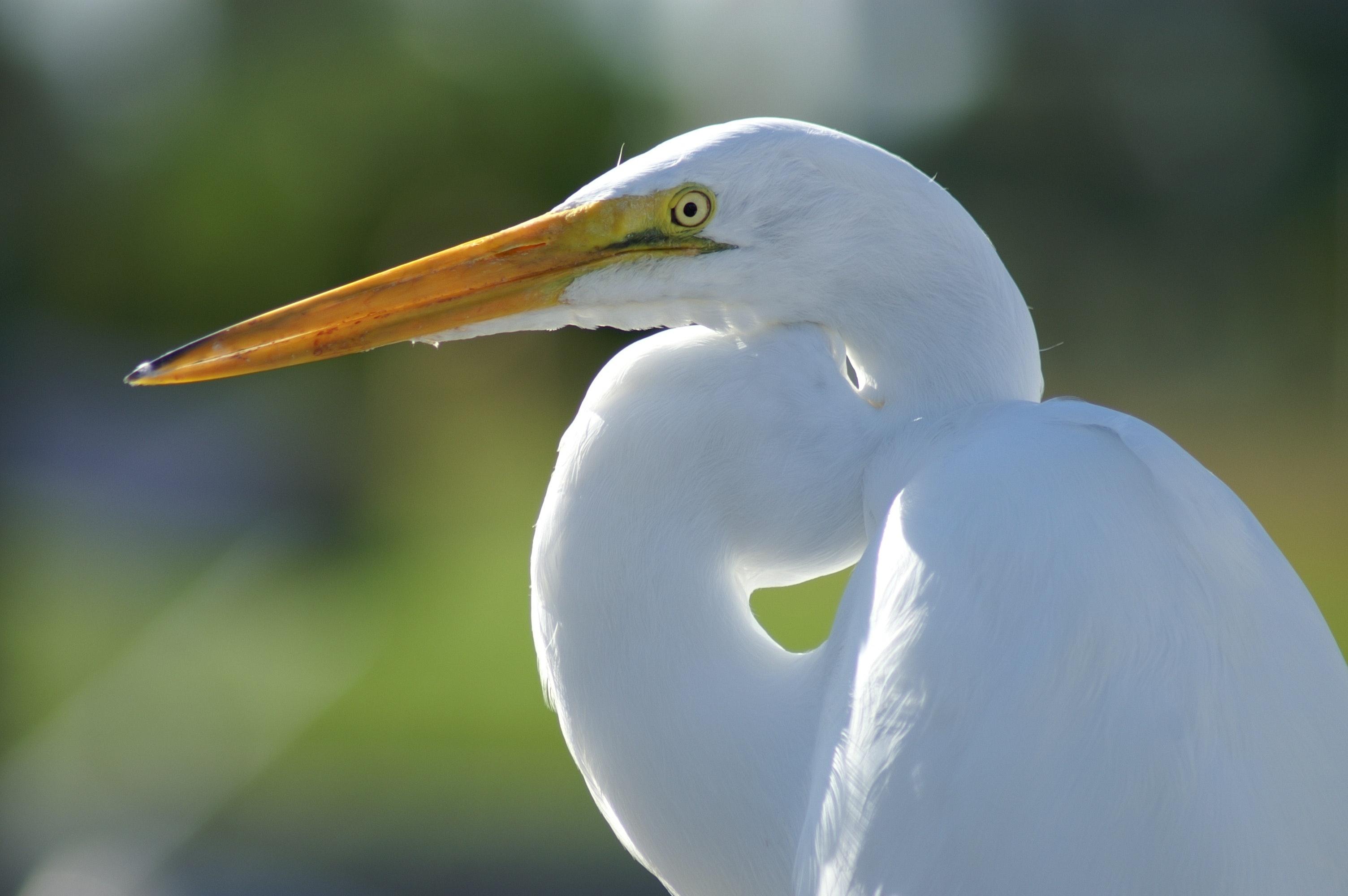 White Crane Bird, Animal, Avian, Beak, Bird, HQ Photo