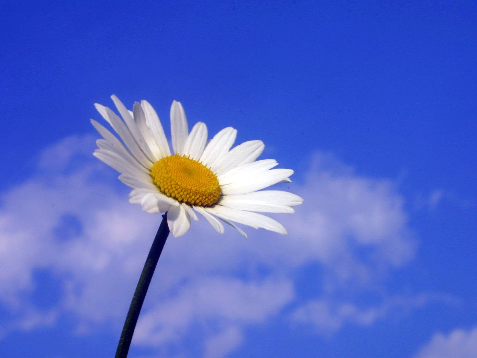 Top White Daisy Photo 13082 - HDWPro