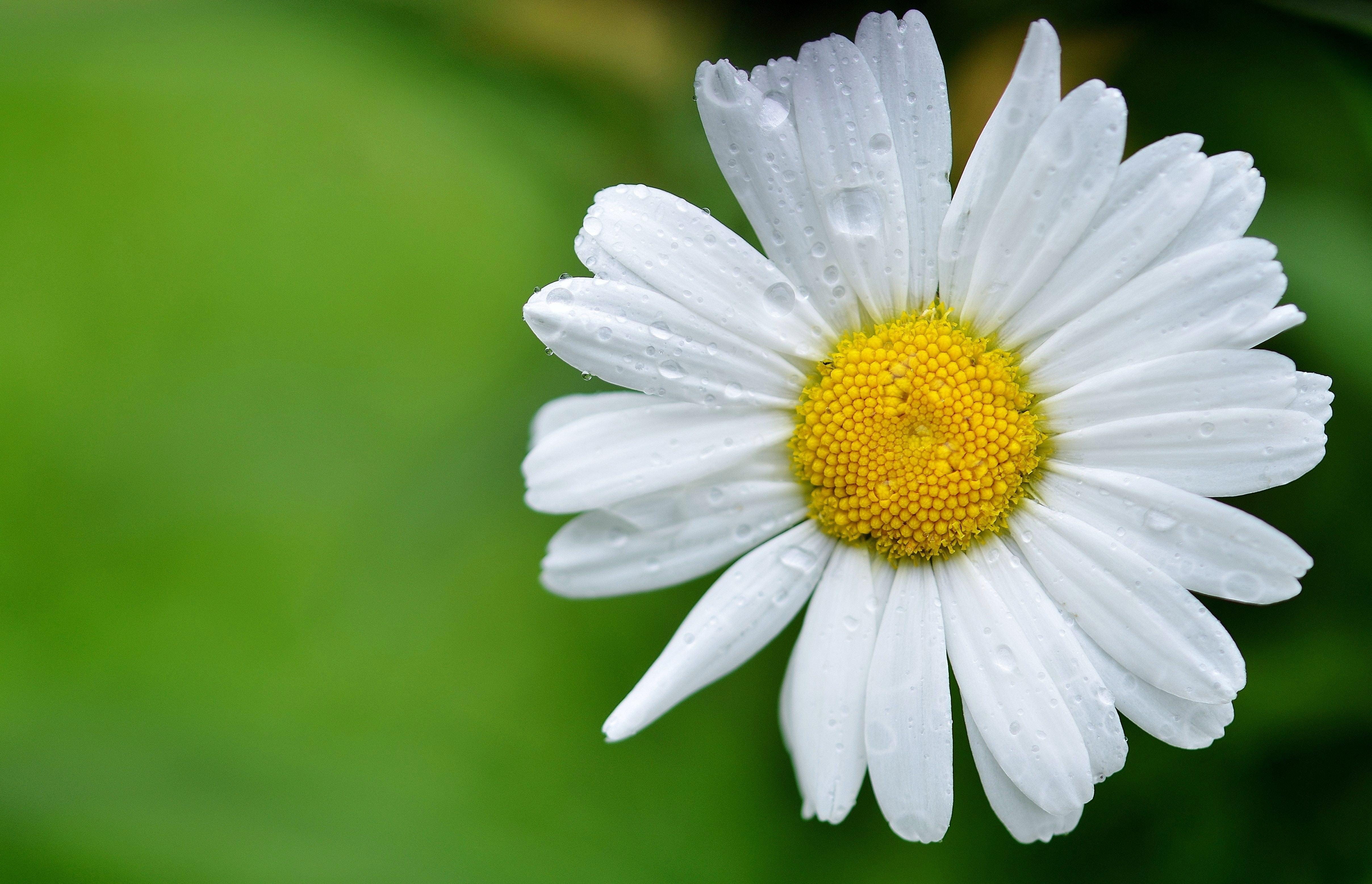White Daisy, Bloom, Blossom, Daisy, Flora, HQ Photo