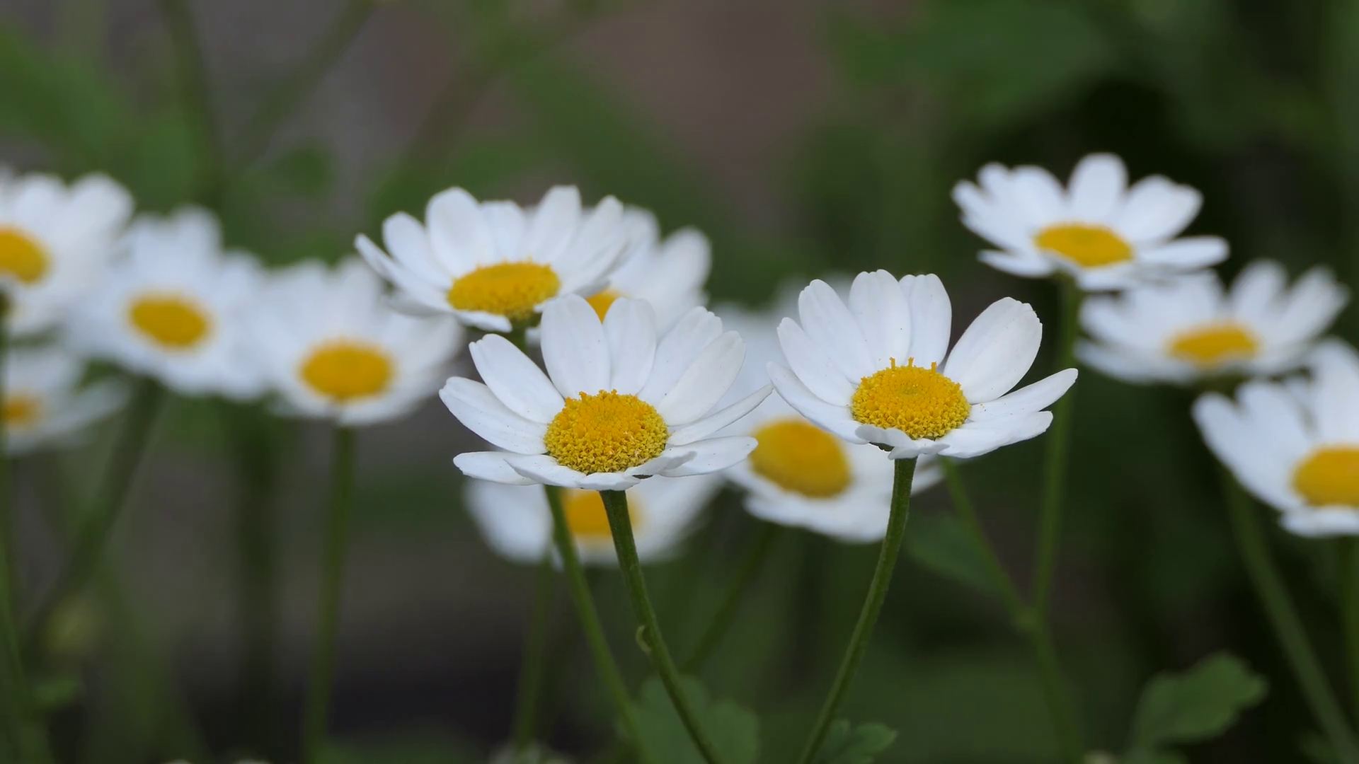 Free Photo White Daisy Flower Nature Marguerite Plant Free