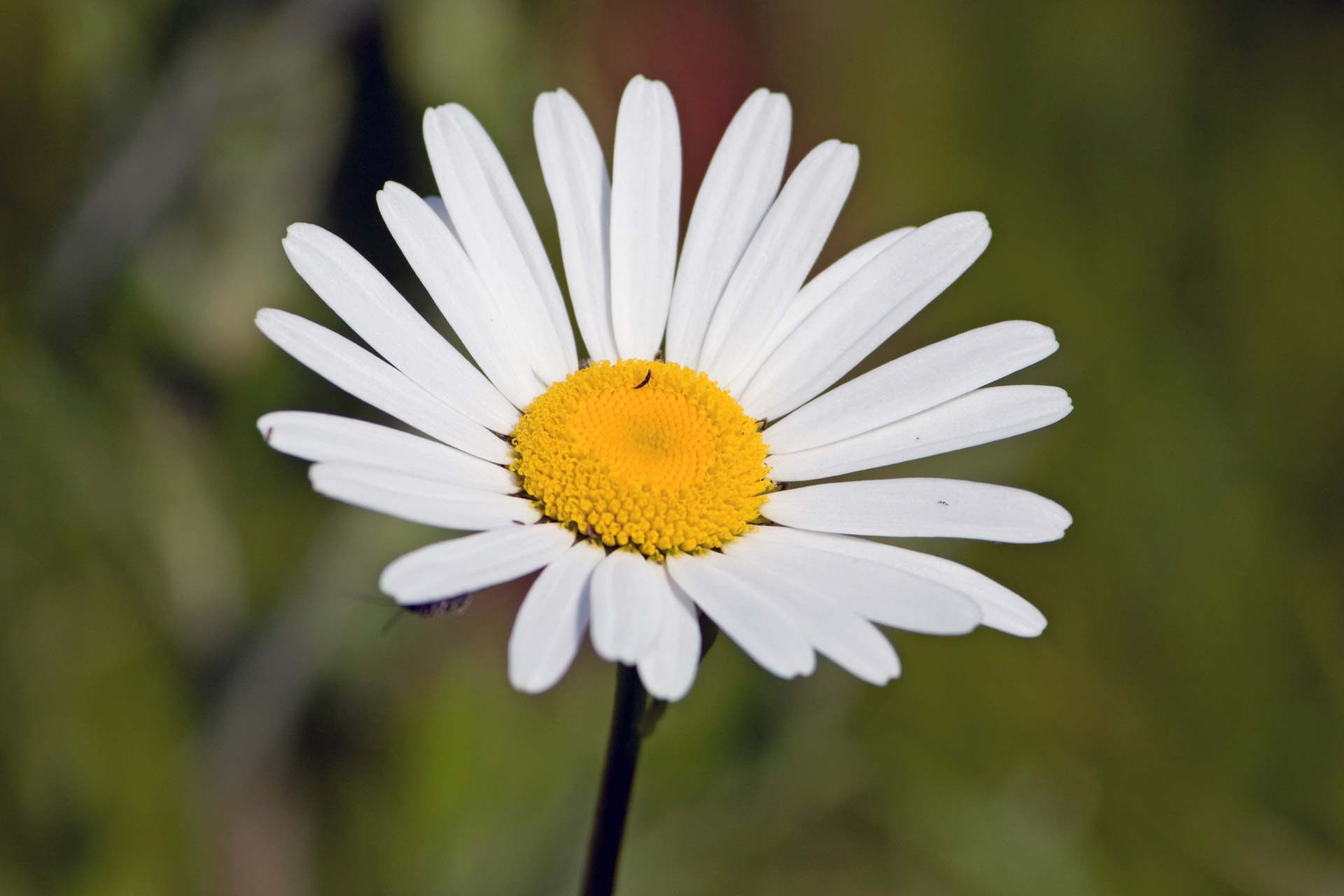 White Daisy Flower Free Stock Photo - Public Domain Pictures