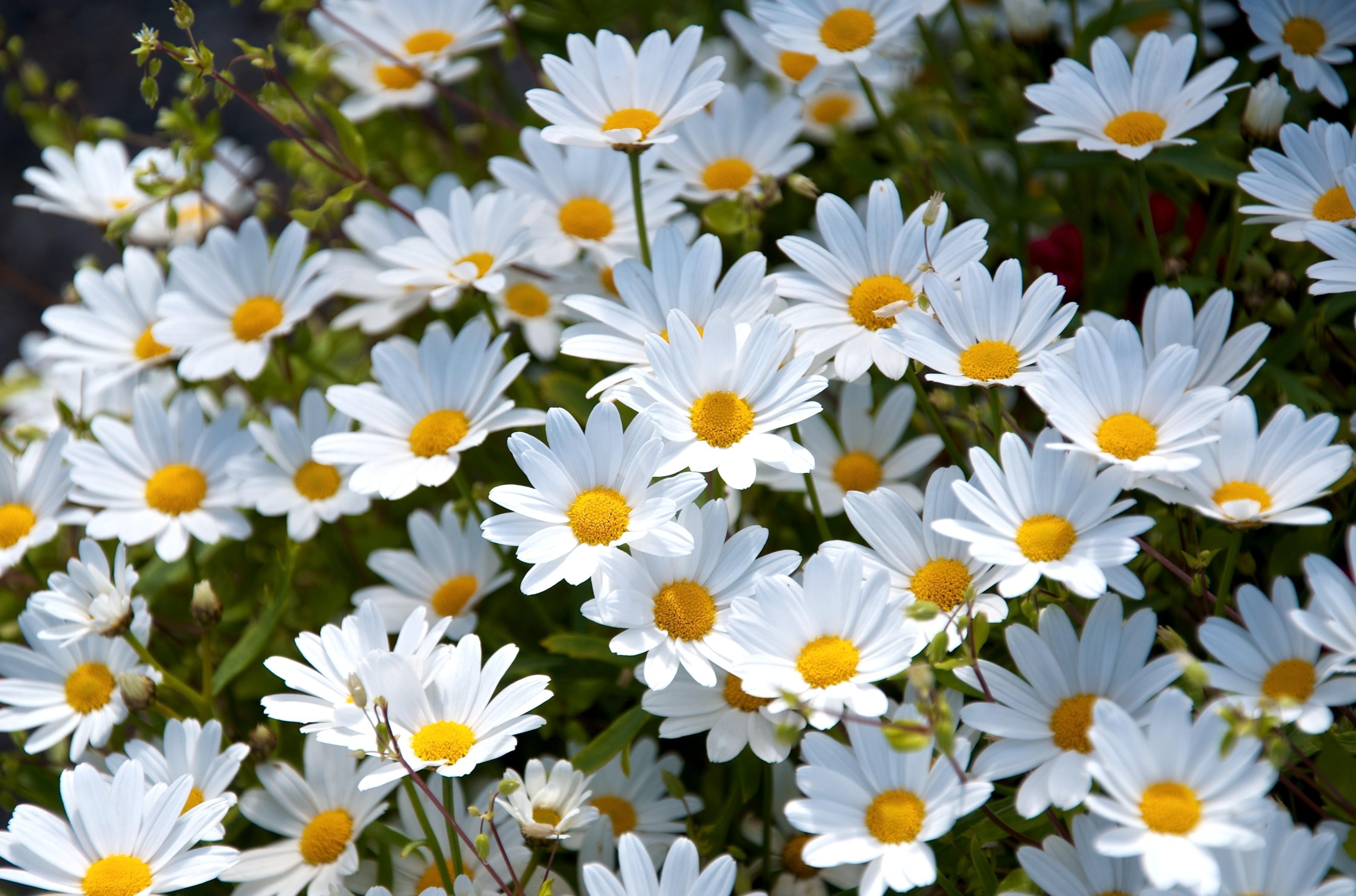 Free photo white daisy flower nature marguerite plant free white daisy flower izmirmasajfo