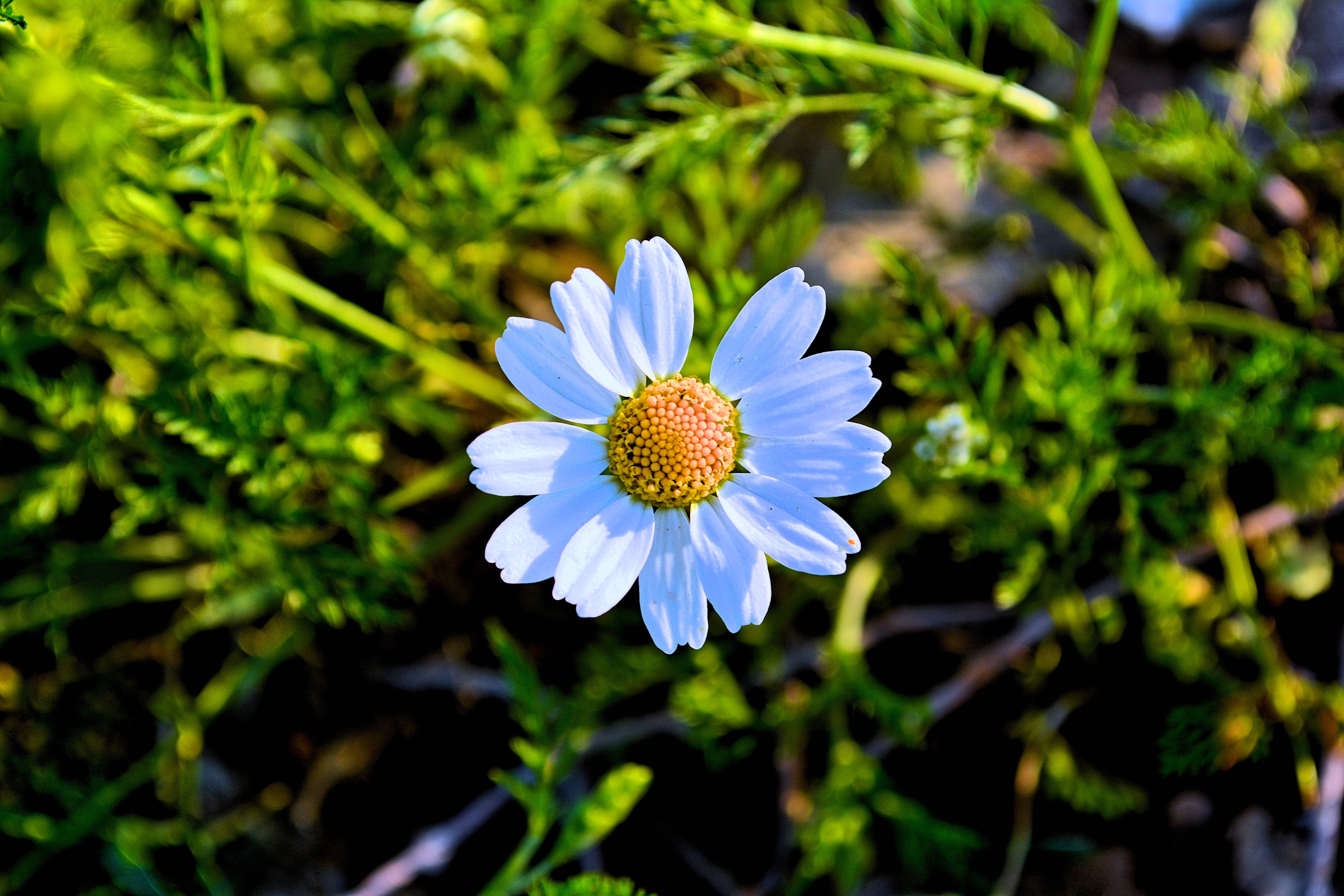 White Daisy Flower, Mother nature, Growth, Nature photography, Garden, HQ Photo