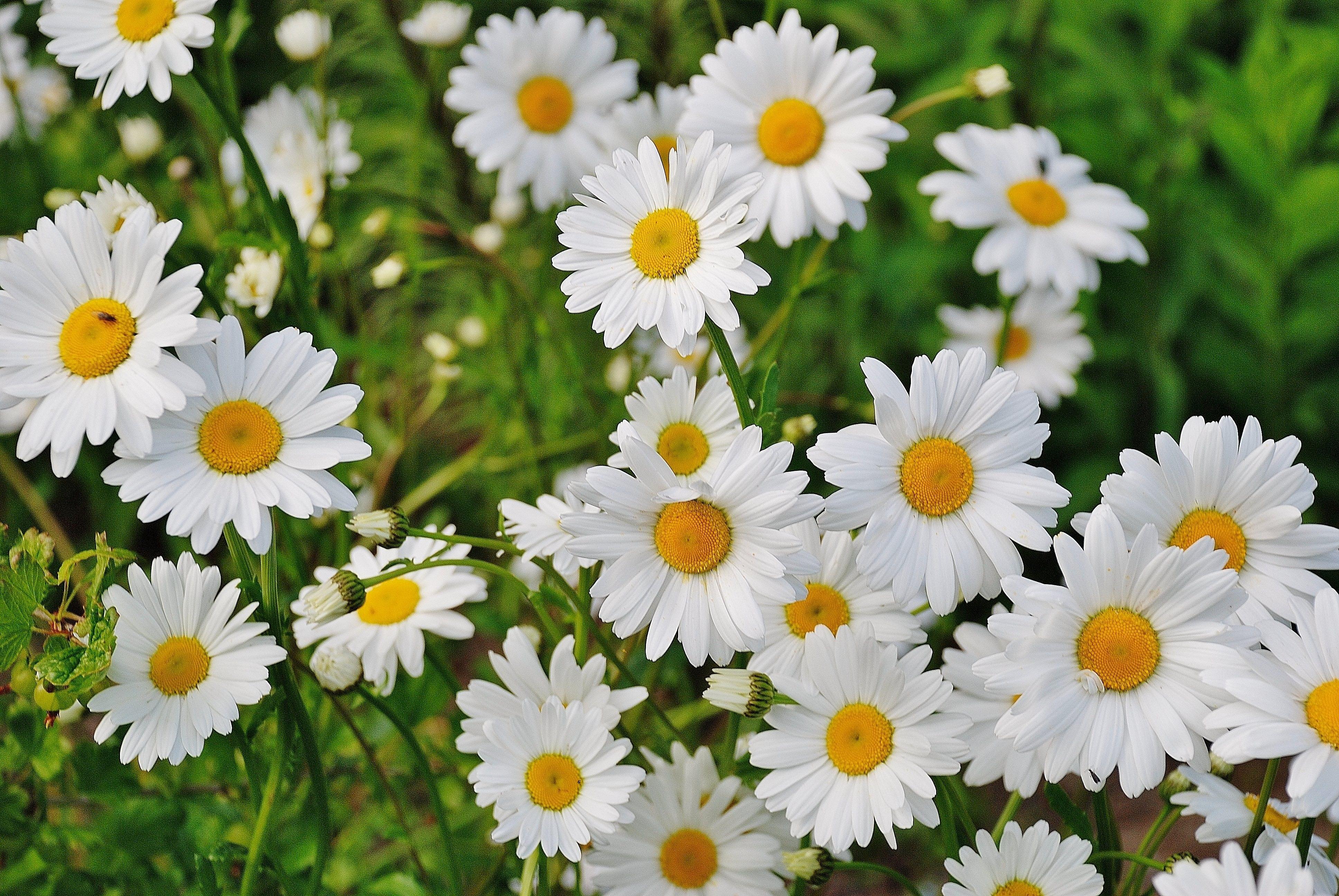 White Daisy Flower, Bloom, Blossom, Daisies, Daisy, HQ Photo