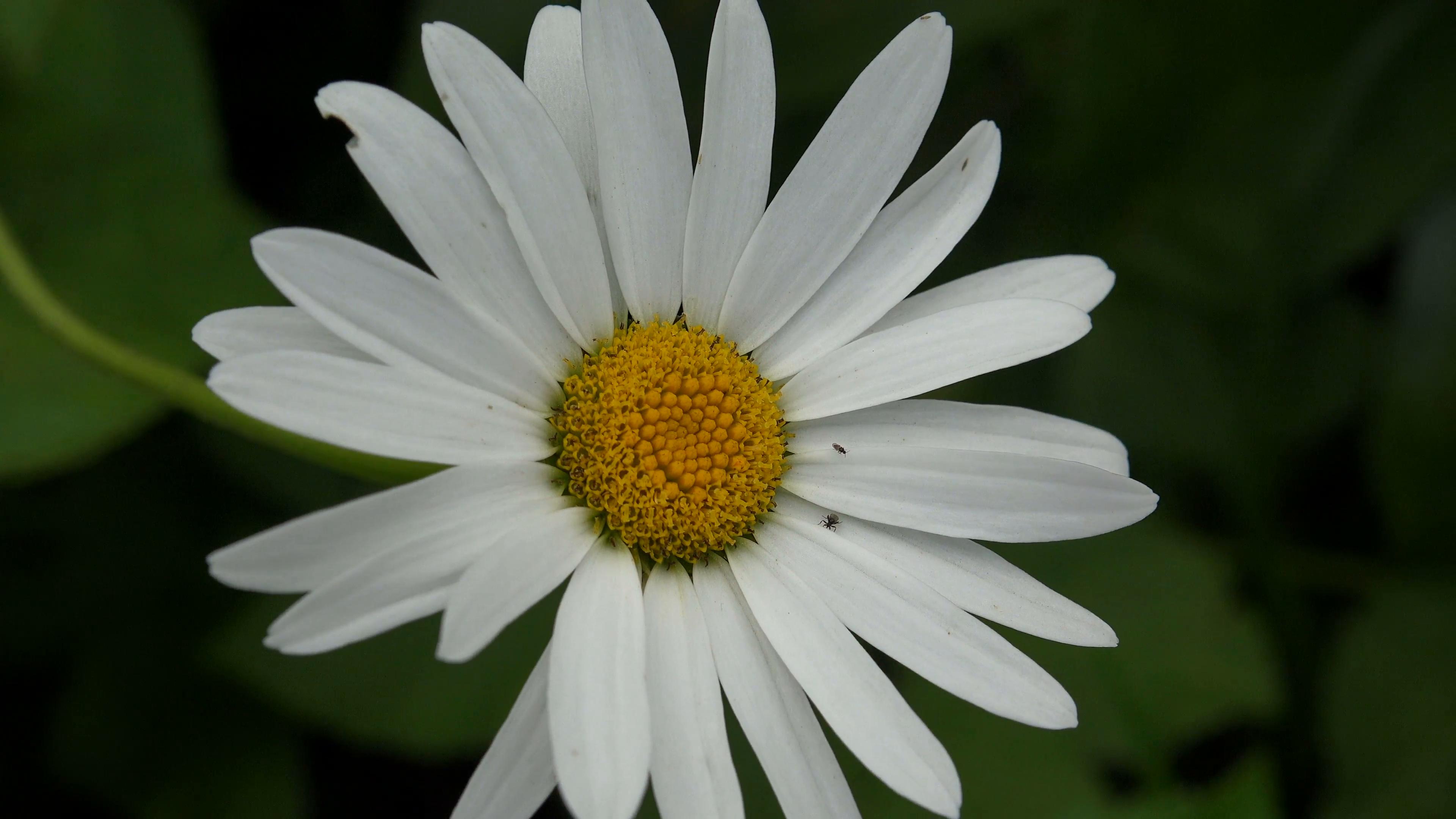 White daisy. Flower. 4K. Stock Video Footage - Videoblocks