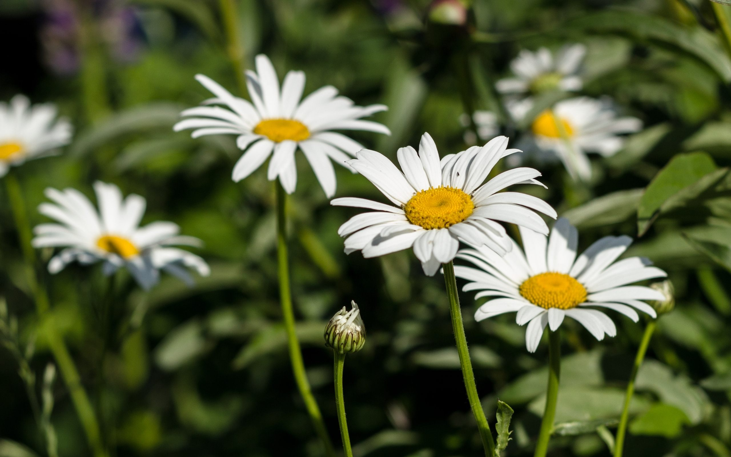 White daisy flower photo