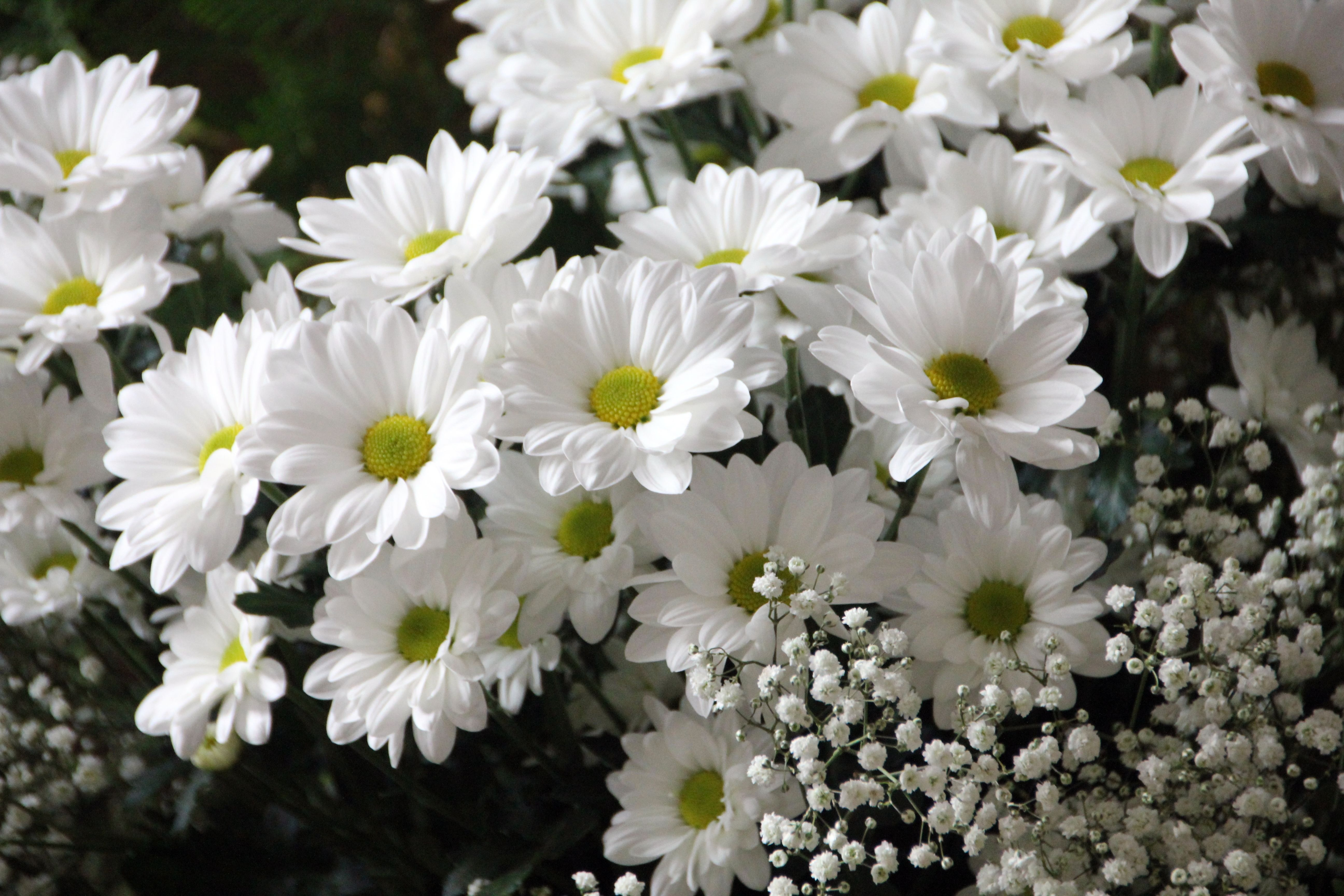 White Daisy Flowers White Baby's-Breath Flowers · Free Stock Photo