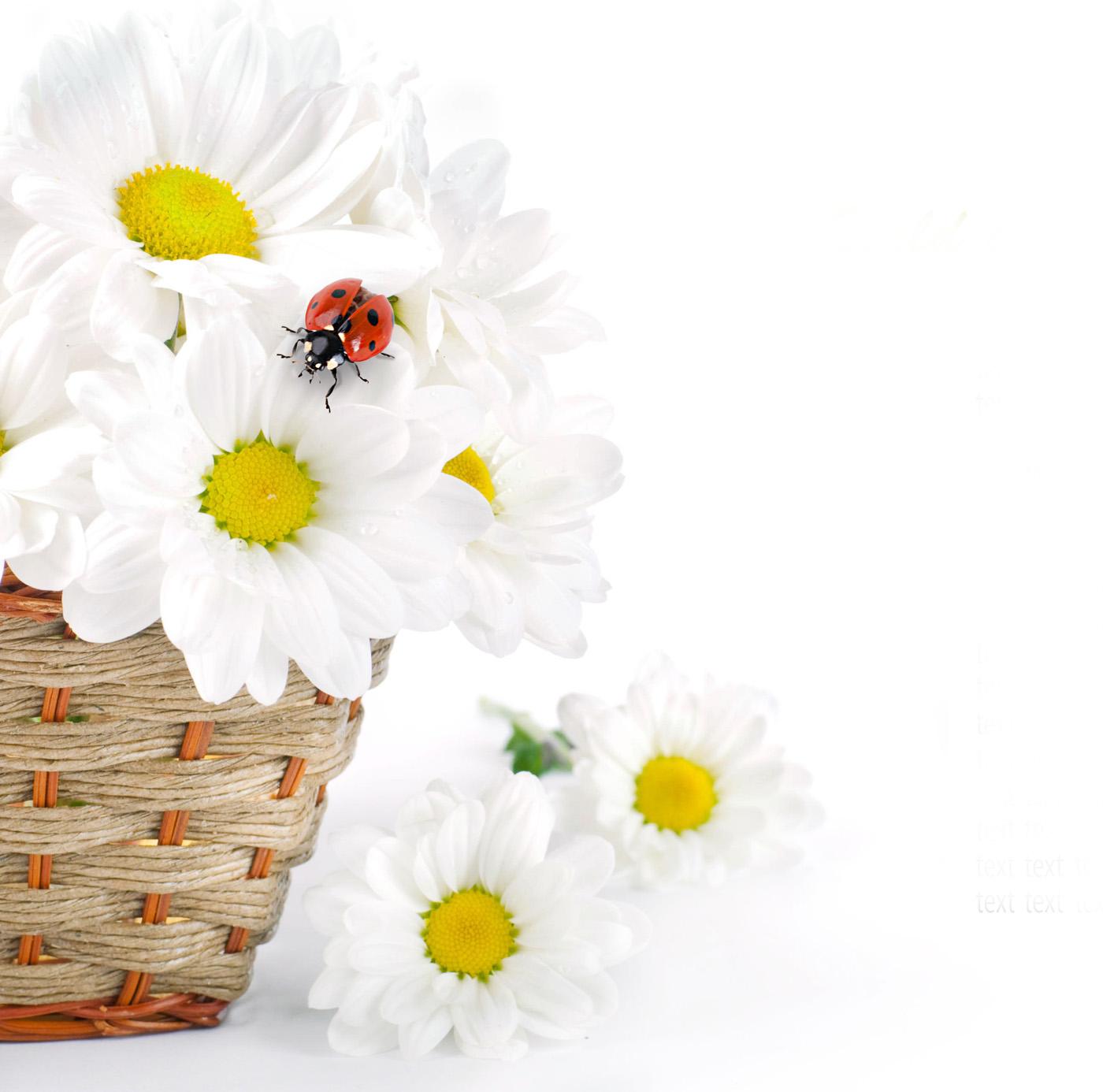White daisy flower 49961 - Flower Wallpapers - Flowers