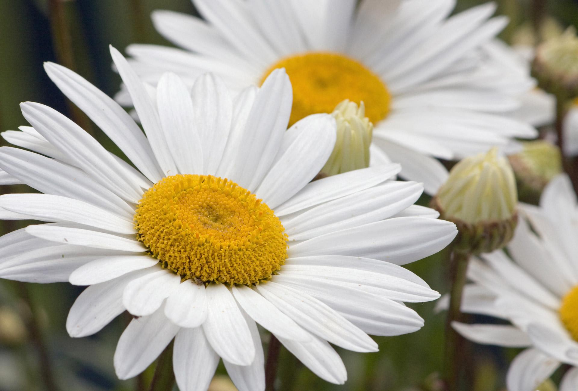 Free photo white daisy flowers growth grassland lawn free white daisy flowers izmirmasajfo