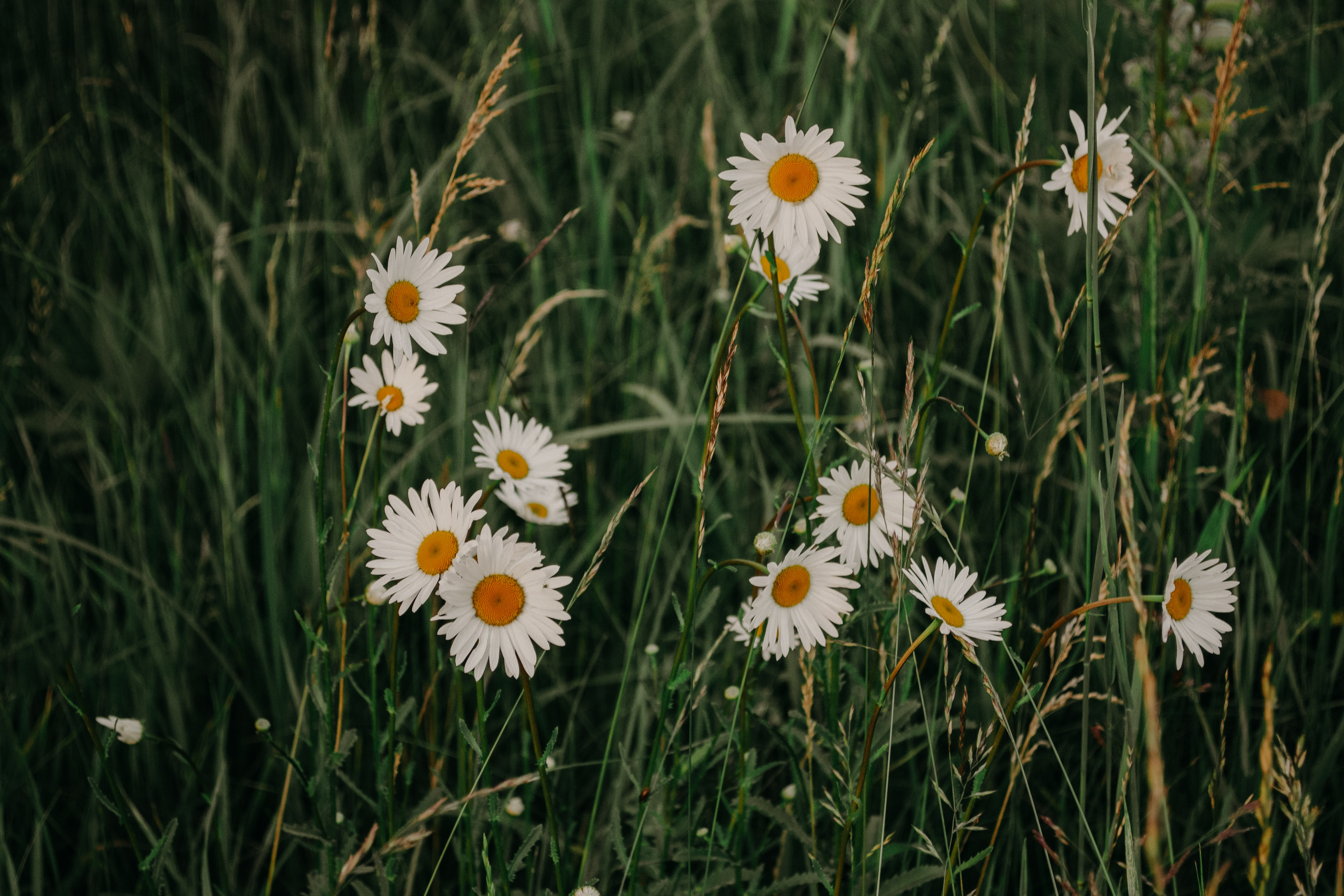 White Daisy Flowers, Garden, Season, Plants, Mother nature, HQ Photo