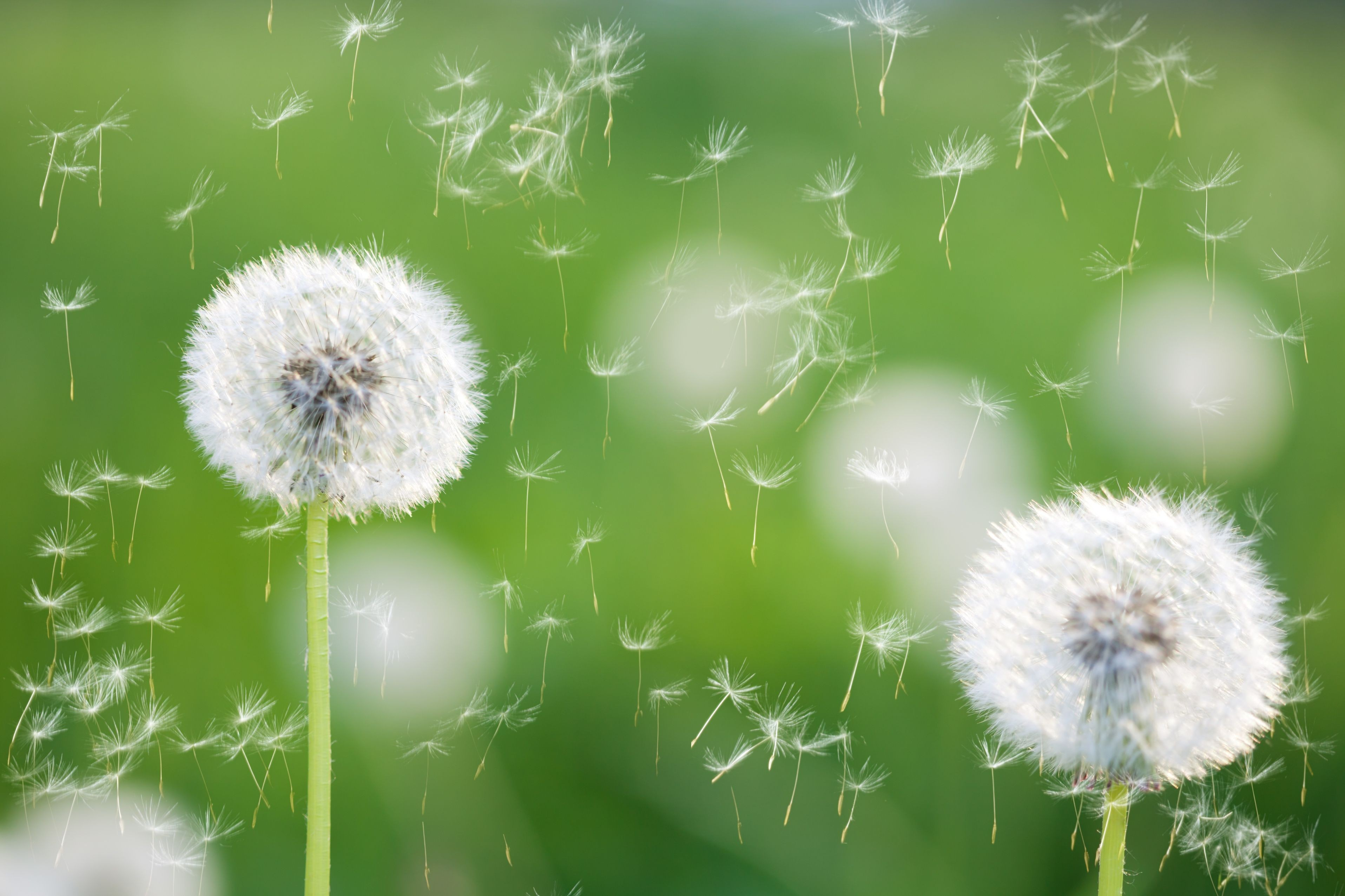 Free photo white dandelion flower wild flowers white nature flowers flowers soft white dandelions flower crown hd for hd 169 mightylinksfo