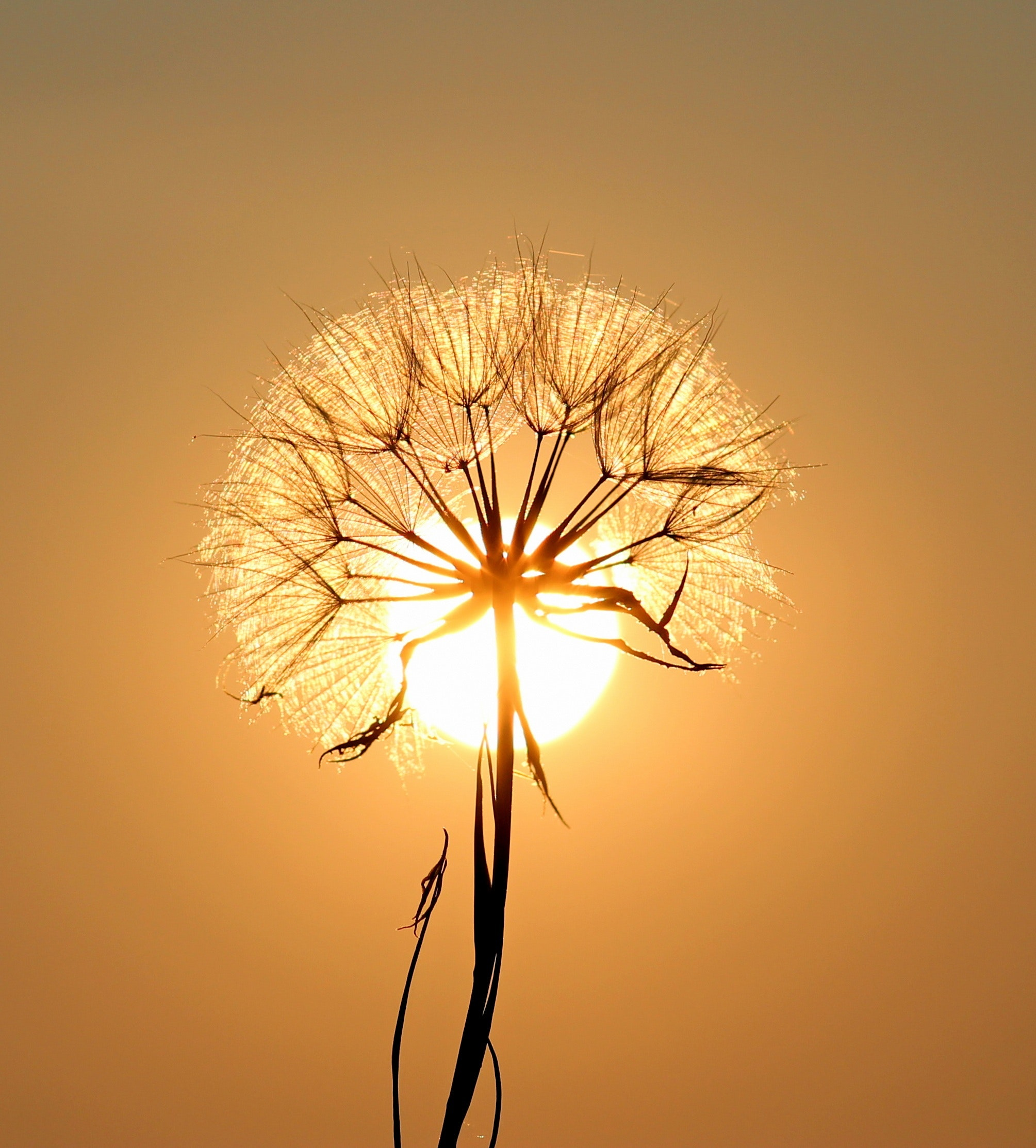 Free photo white dandelion flower plant silhouette sunset white dandelion flower photo mightylinksfo