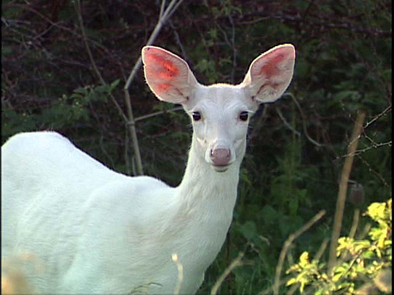 Free photo: White deer - Animal, Antlers, Deer - Free Download - Jooinn