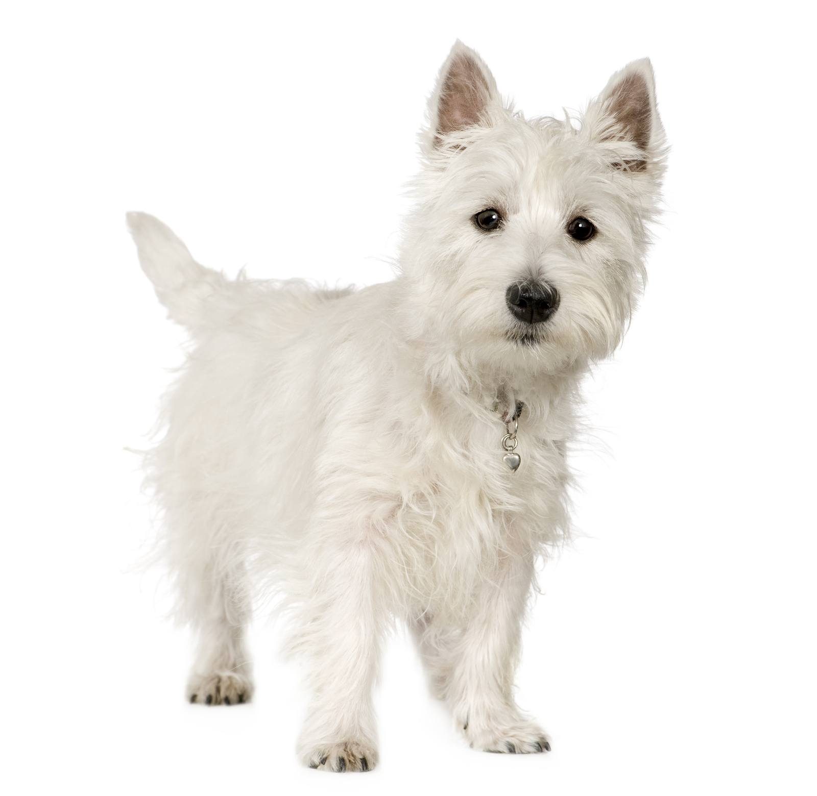5 of the best small white dog breeds - Practical Paw | The Dog ...