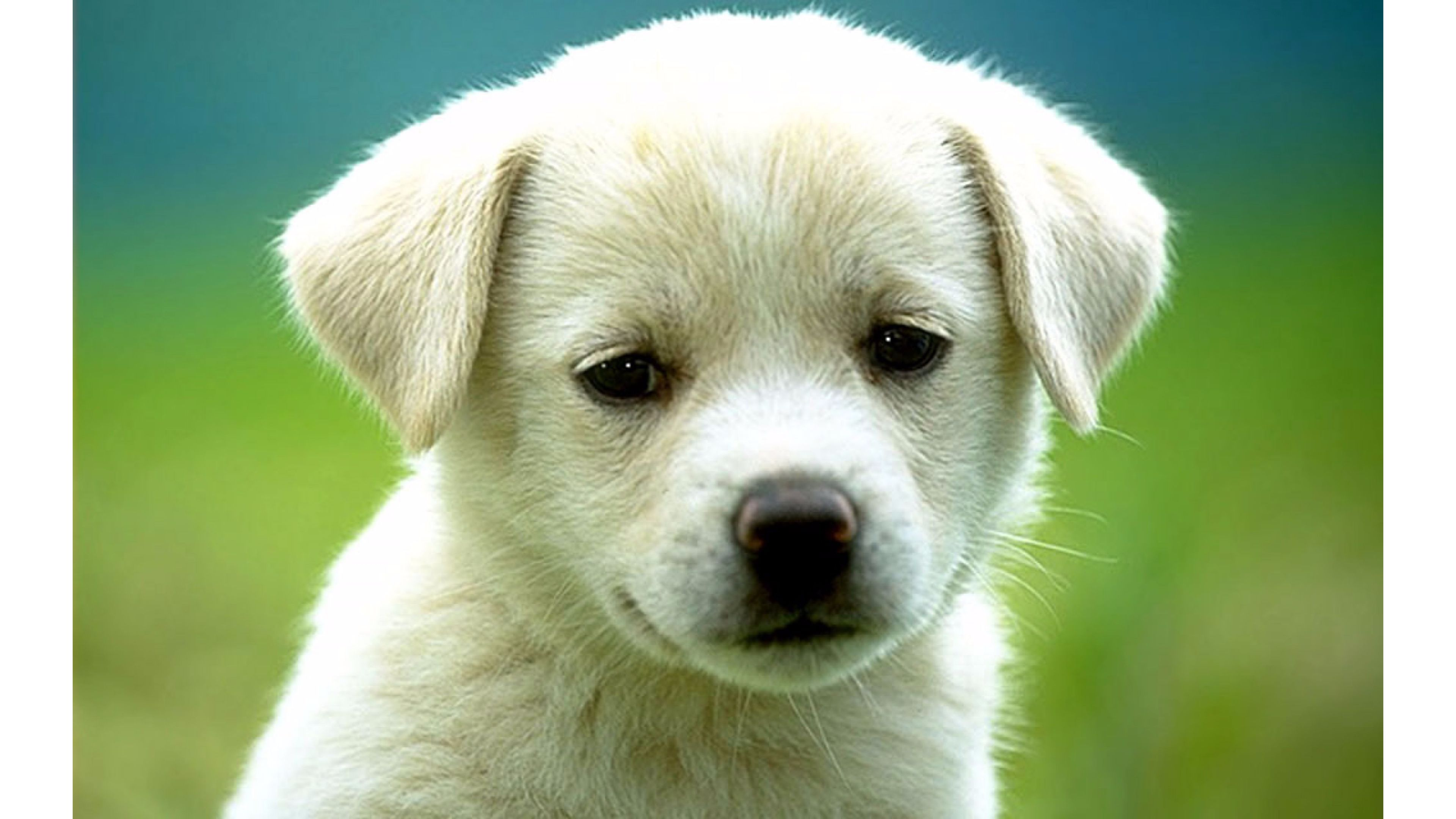 Cute White Dog 4K Wallpaper | Free 4K Wallpaper