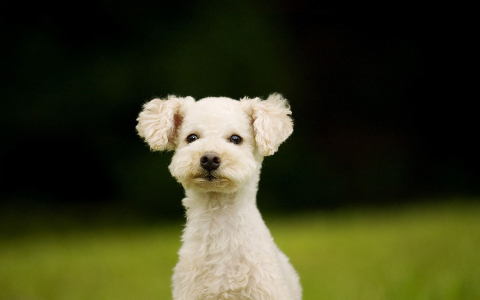 White dog / 1920 x 1200 / Animals / Photography | MIRIADNA.COM