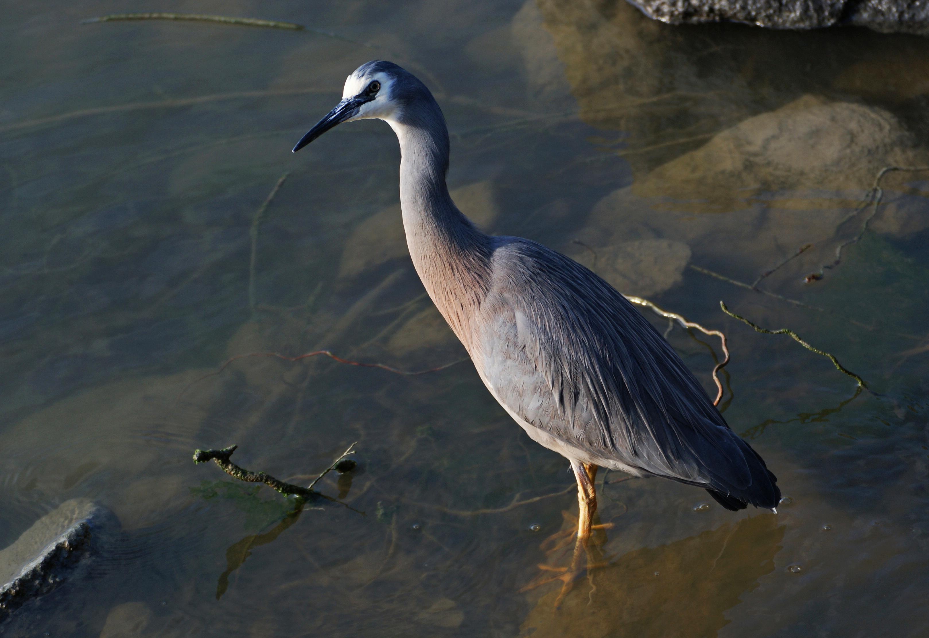 White faced heron. photo