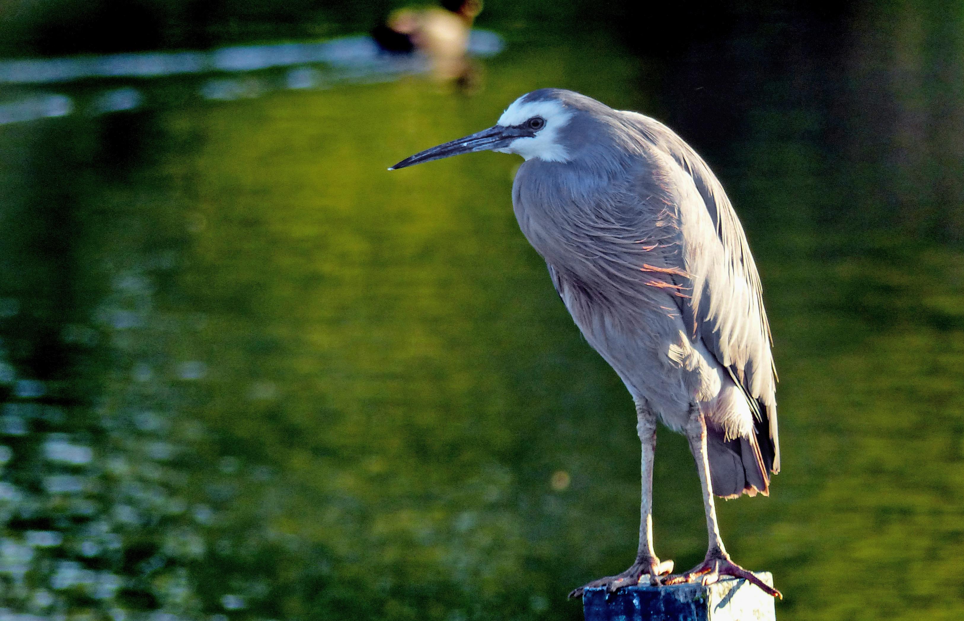 White faced heron.nz photo