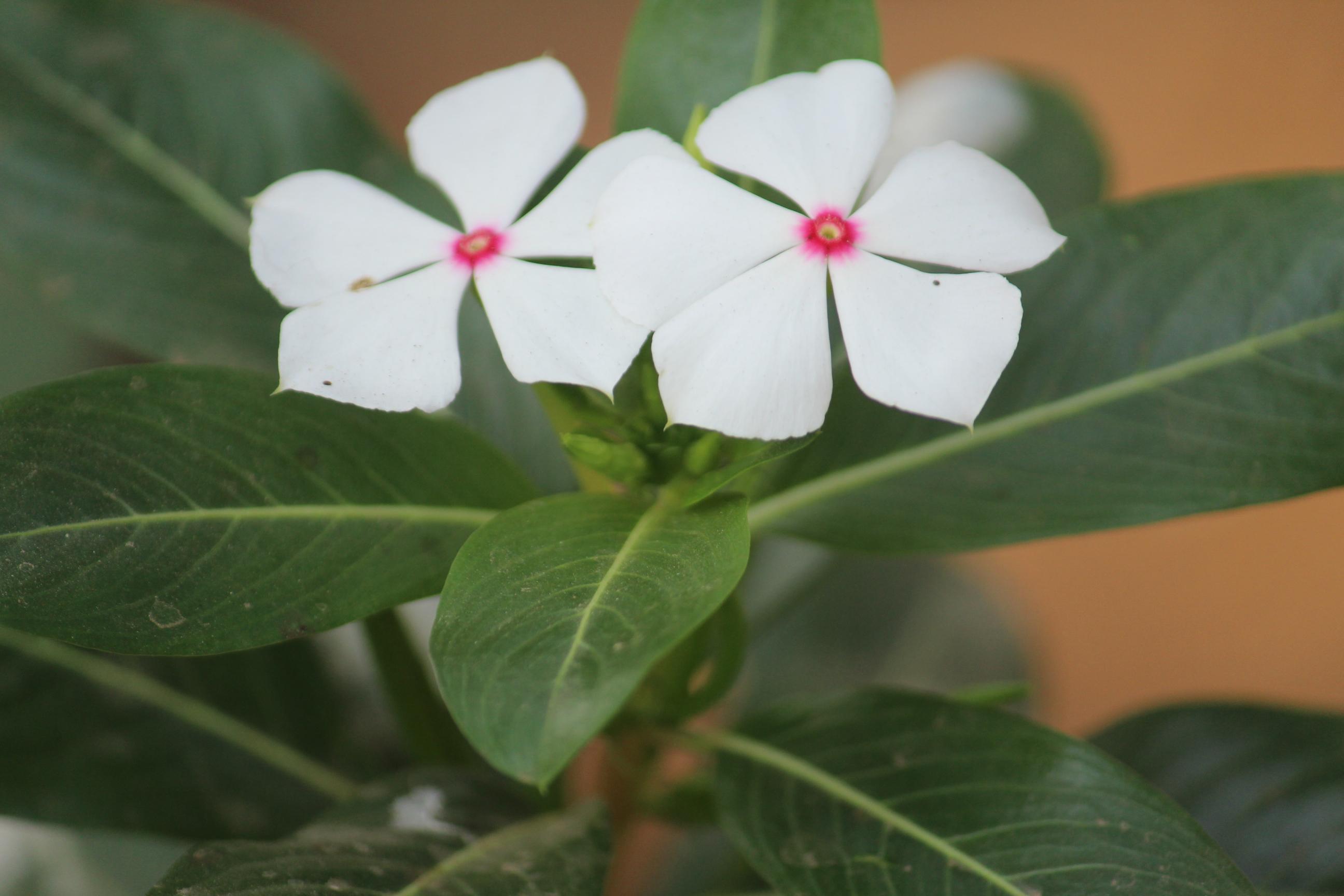 Free Photo White Flower Redrose Redandwhiteflowe Purple Free